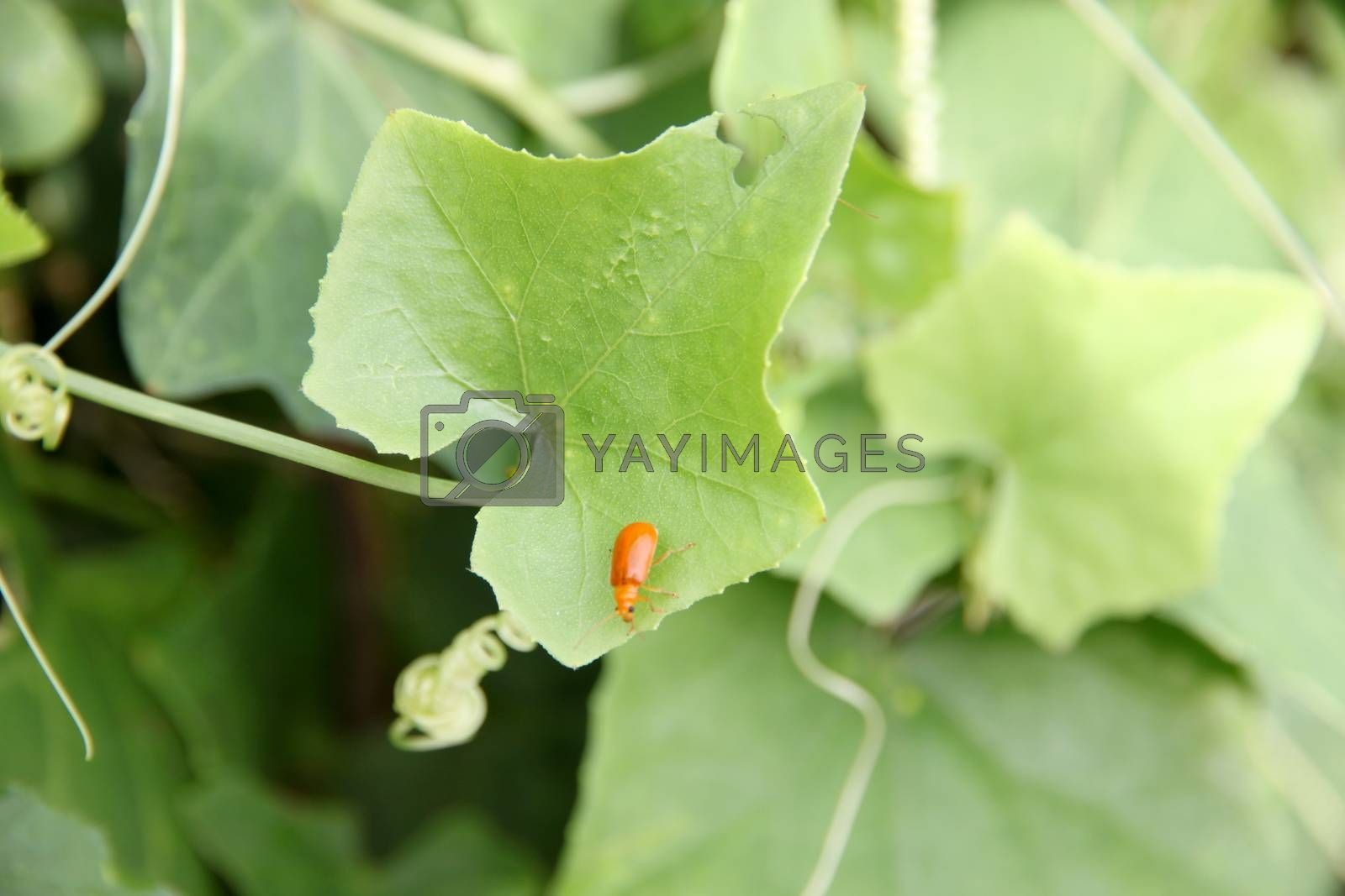 Closeup Small red insect perched on green leaves.
