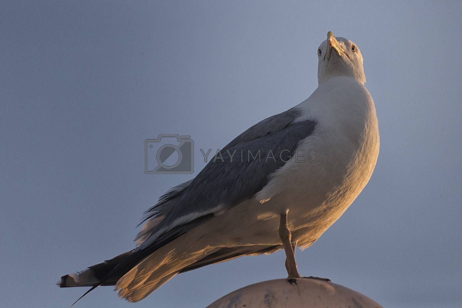 Seagull (Larinae Rafinesque) standing  on street lamp sphere in Gallipoli (Le) in the Southern Italy