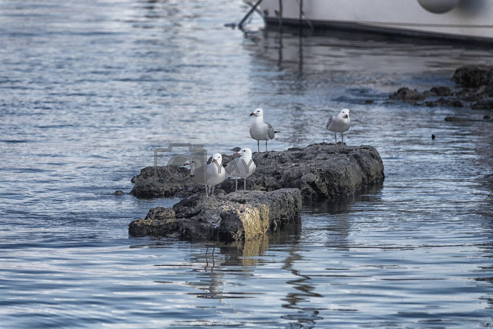 Seagull (Larinae Rafinesque) standing  on rocks in the harbour in Gallipoli (Le) in the Southern Italy