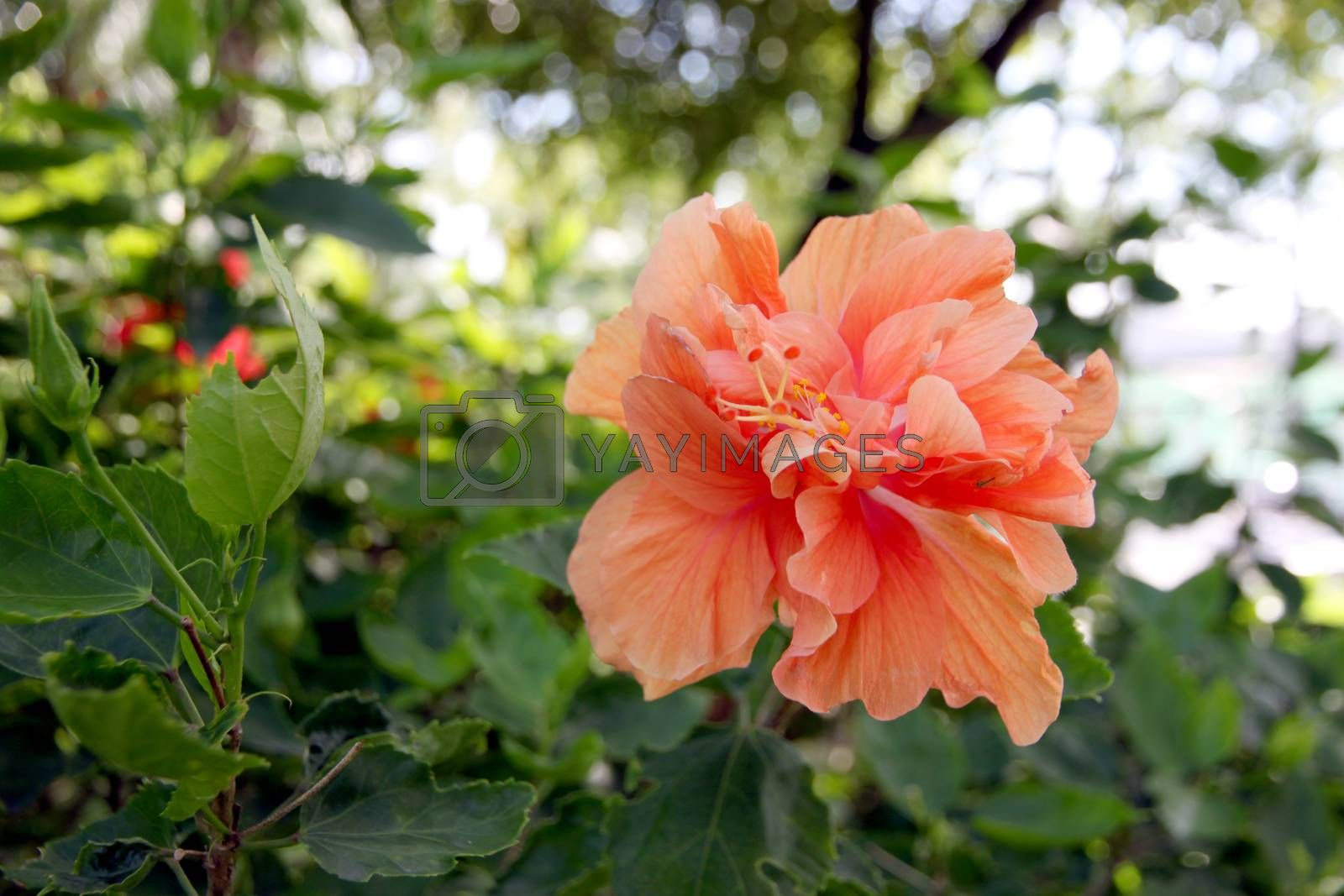 Orange Hibiscus flowers in the backyard. by PiyaPhoto
