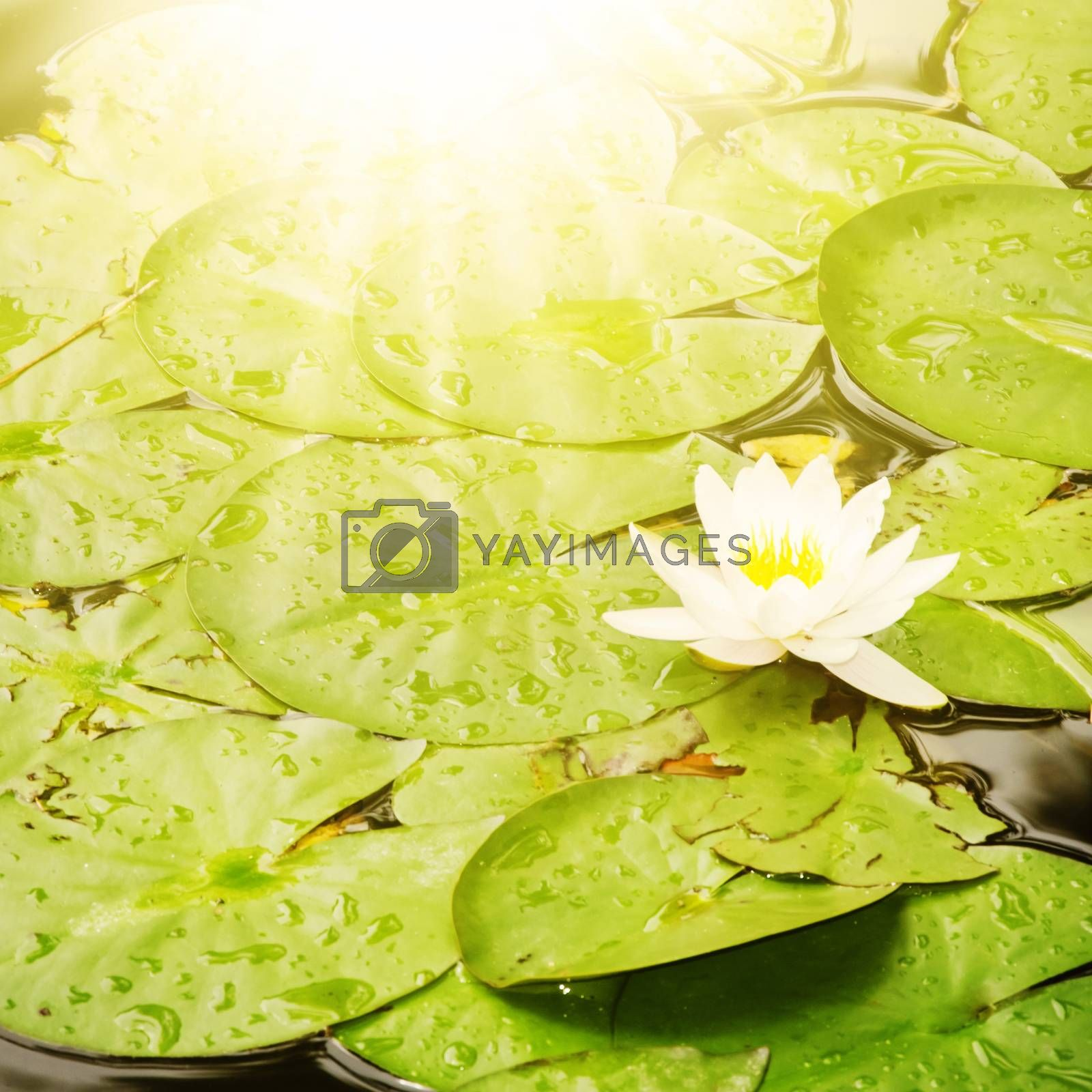 White Waterlily Flower Over Sunny Background