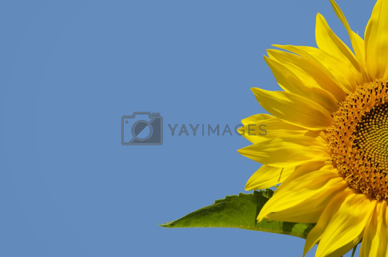 Yellow Sunflower in Summertime Over Blue Bbackground, Copyspace