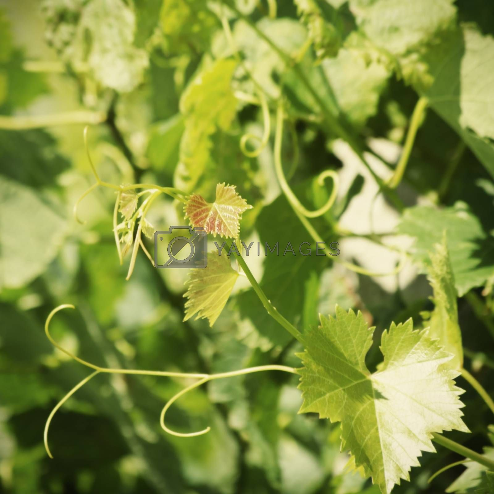 Young Green Grape Leaves in Summertime