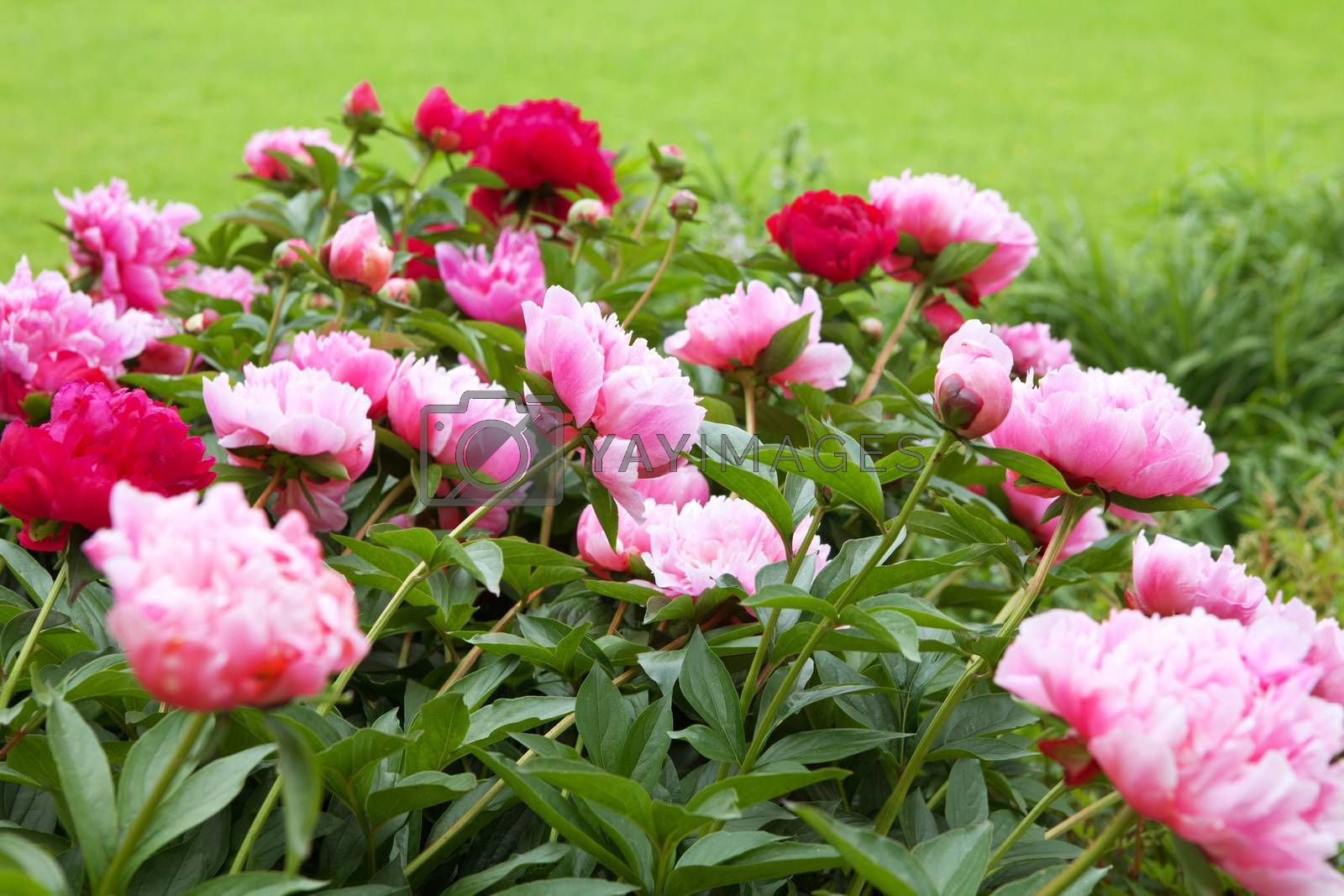 peonies on the green field in summer