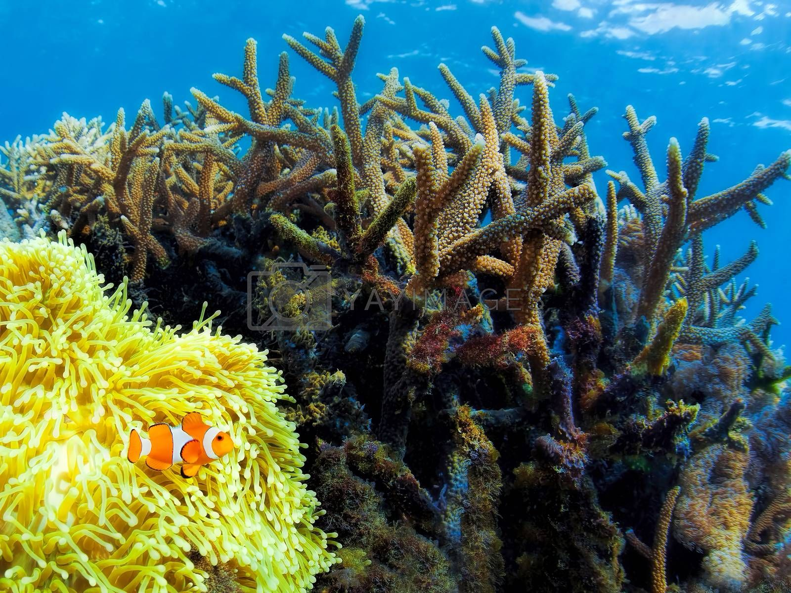 Colorful corals in the underwater landscape on Bali, Indonesia