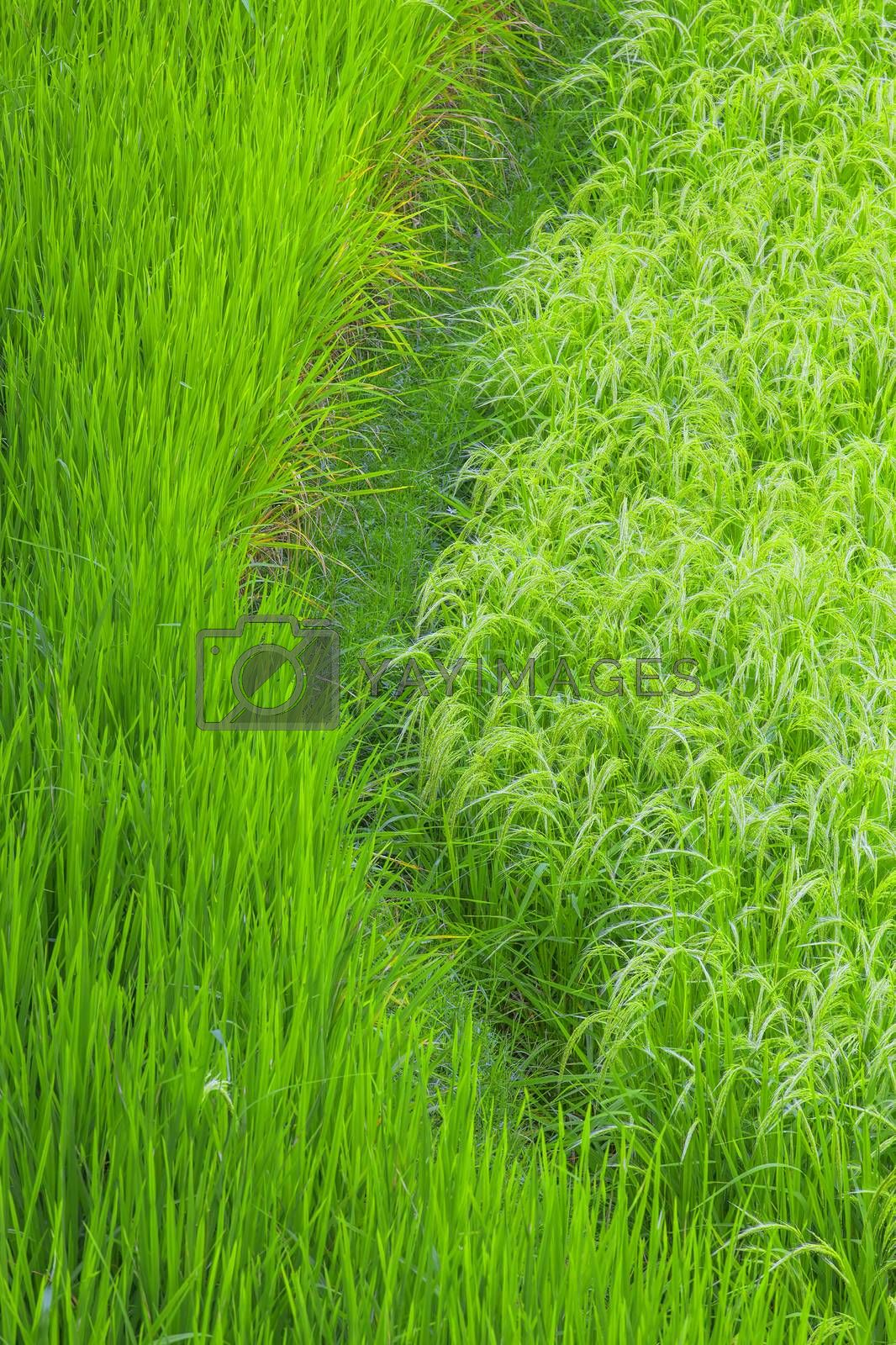 Close up rice fields on Bali, Indonesia