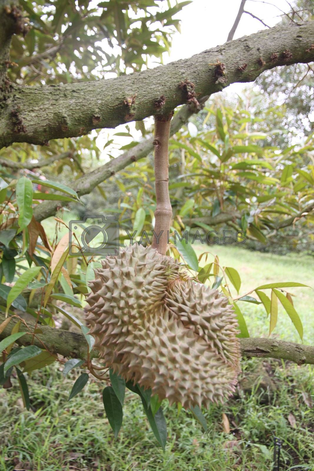 Fresh durian fruit on trees. by PiyaPhoto