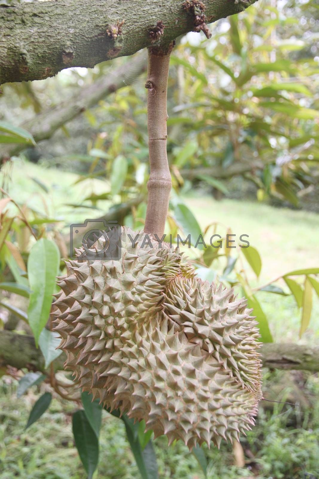Fresh durian fruit on trees in orchards.