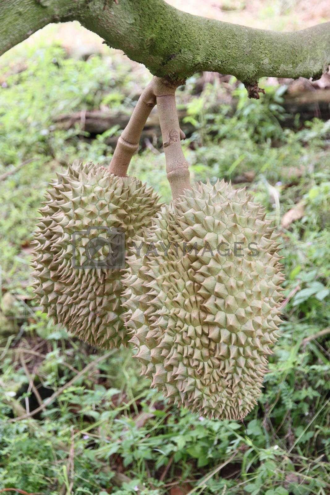 Fresh durian fruit on trees. by PiyaPhoto
