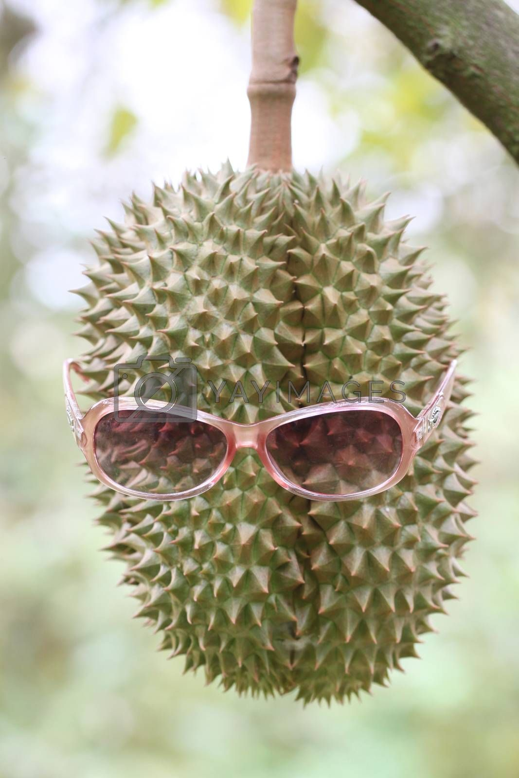 Fresh durian fruit wearing sunglasses on trees in orchards.