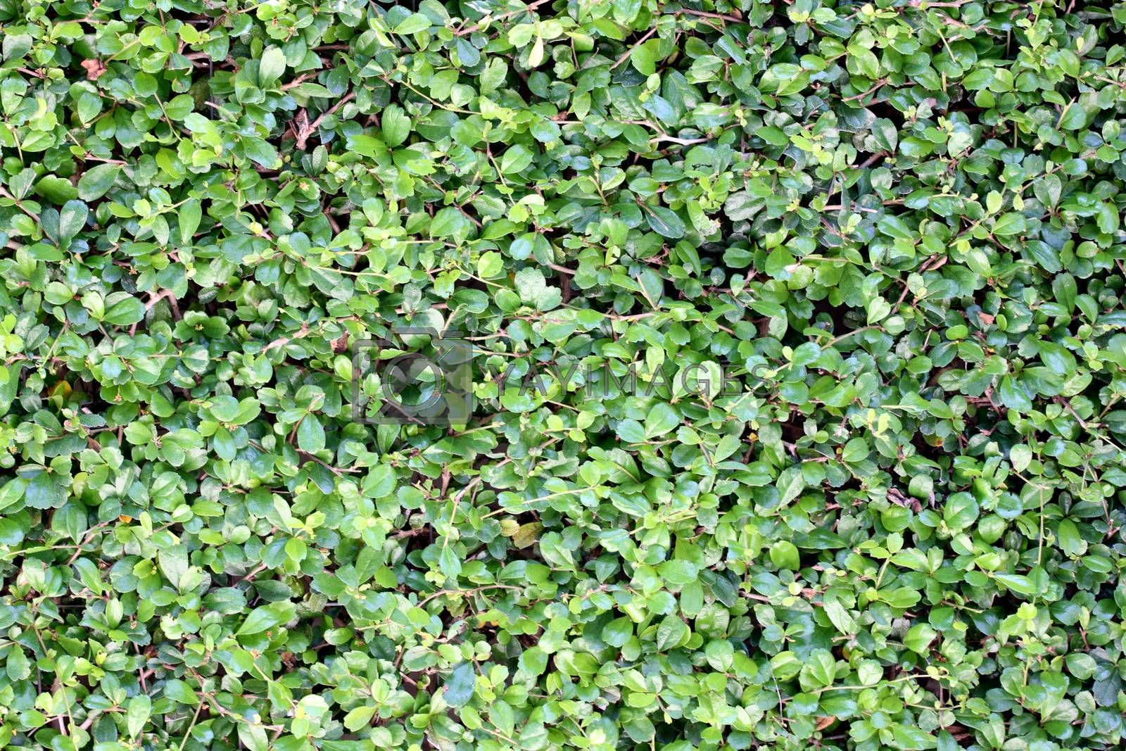 Green leaves in garden for the background image.