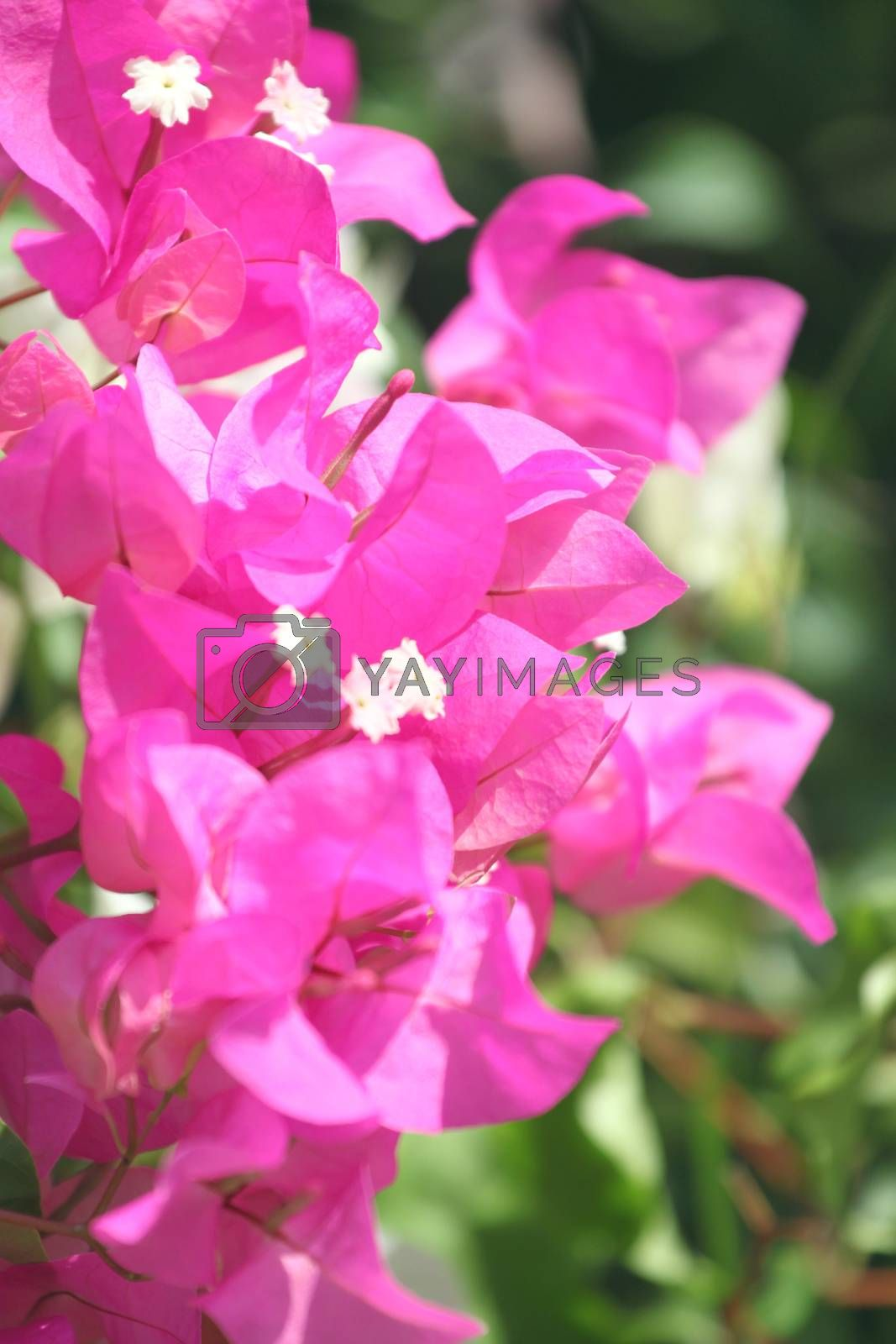 Purple bougainvillea flowers in the garden.