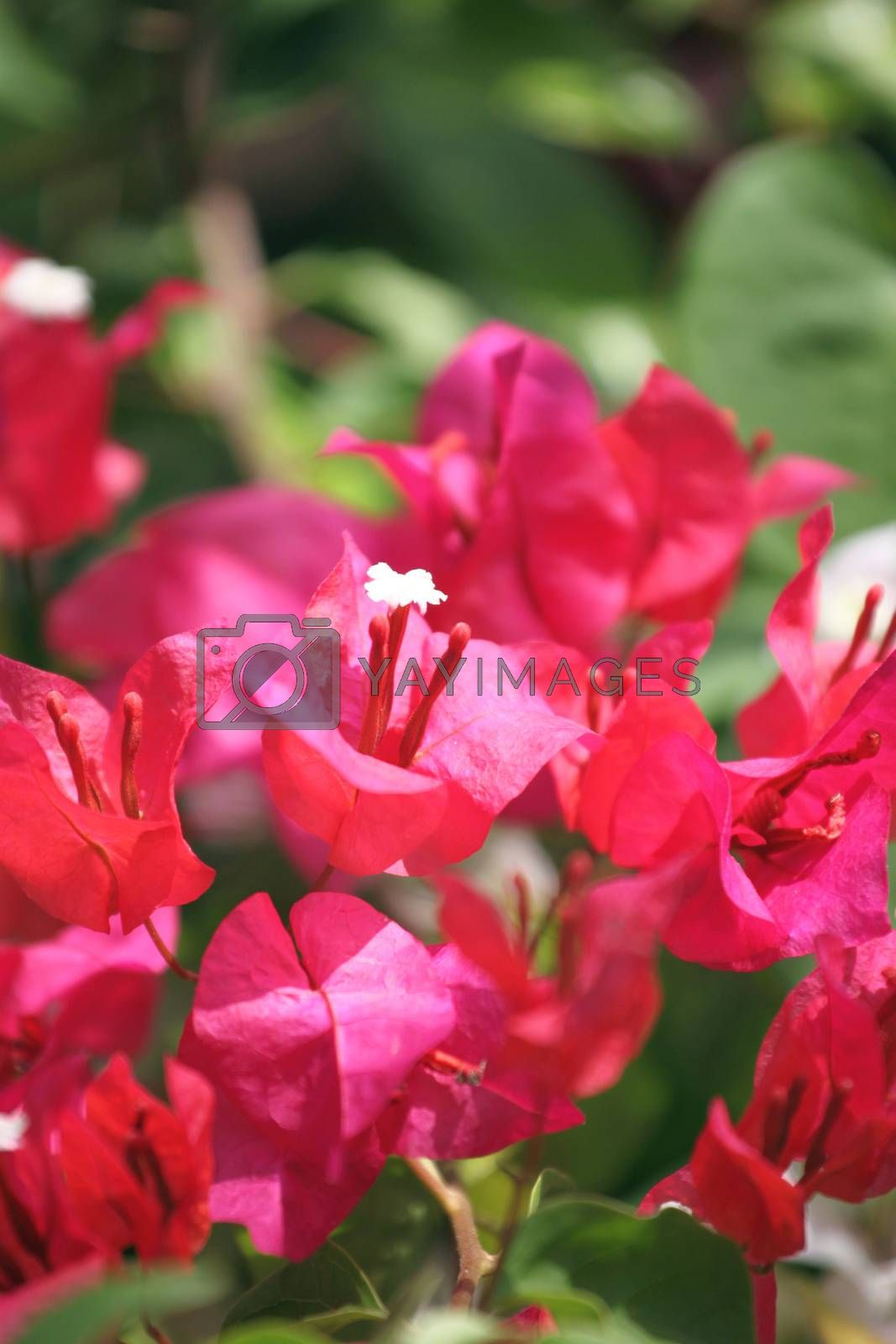 Red bougainvillea flowers in the garden.