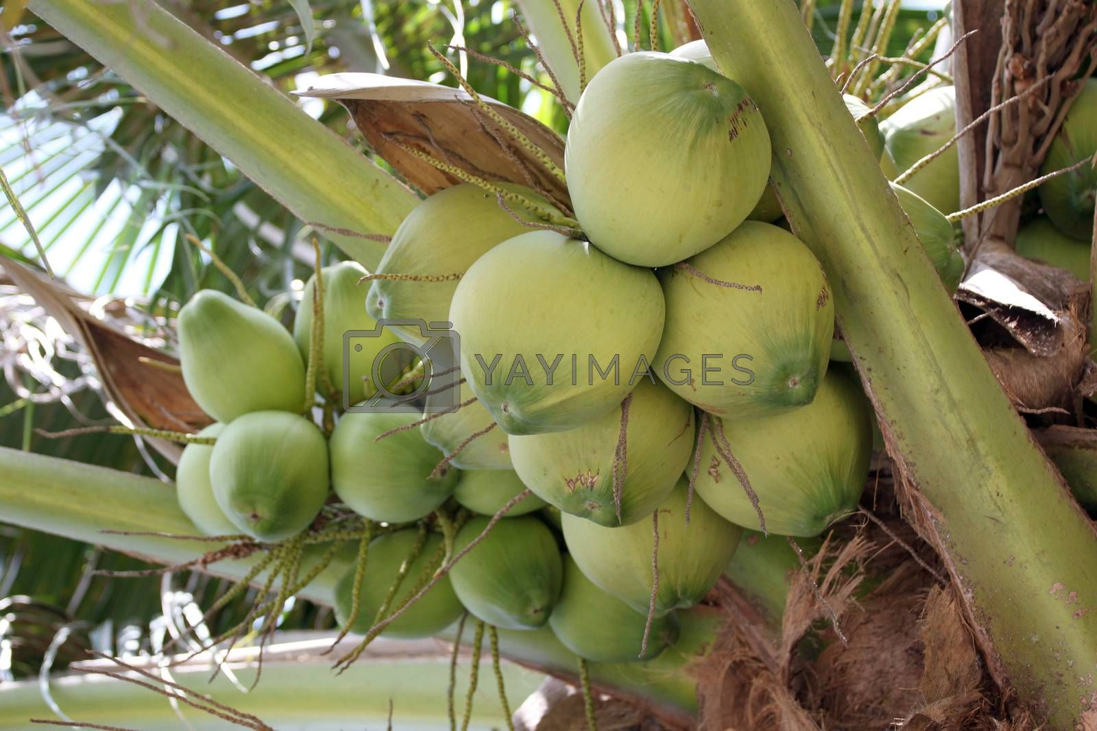 coconut trees are fruiting in the garden.