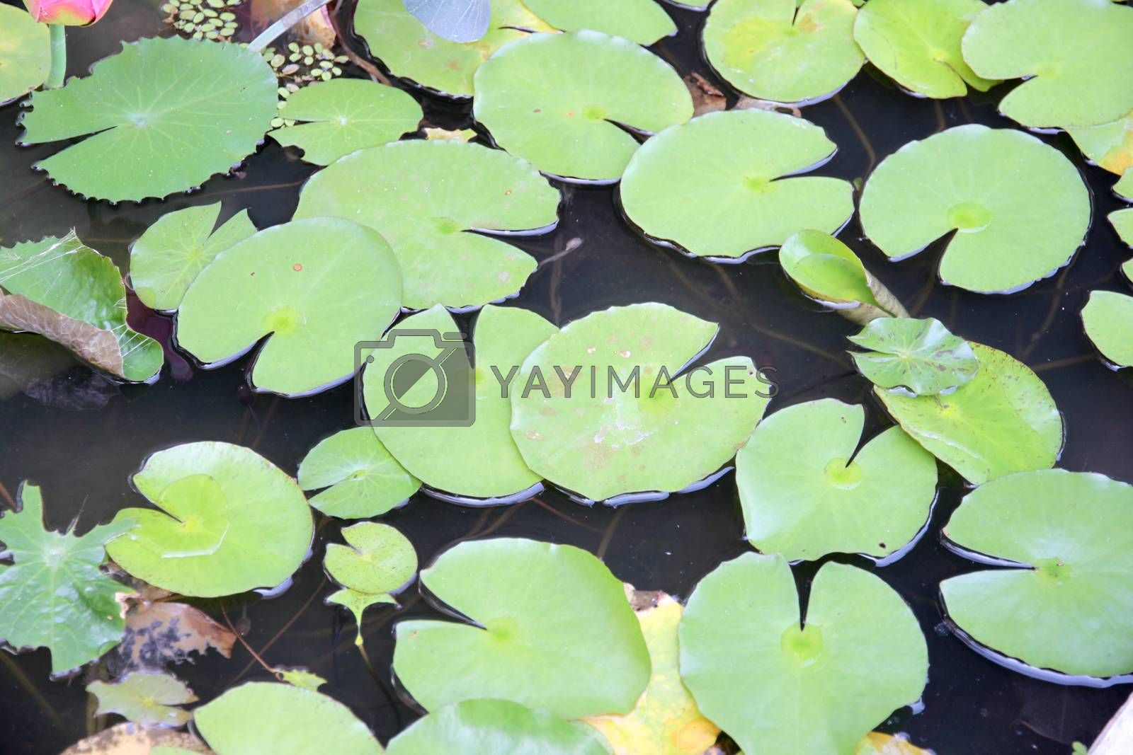 The Green lotus leaf in a pond.