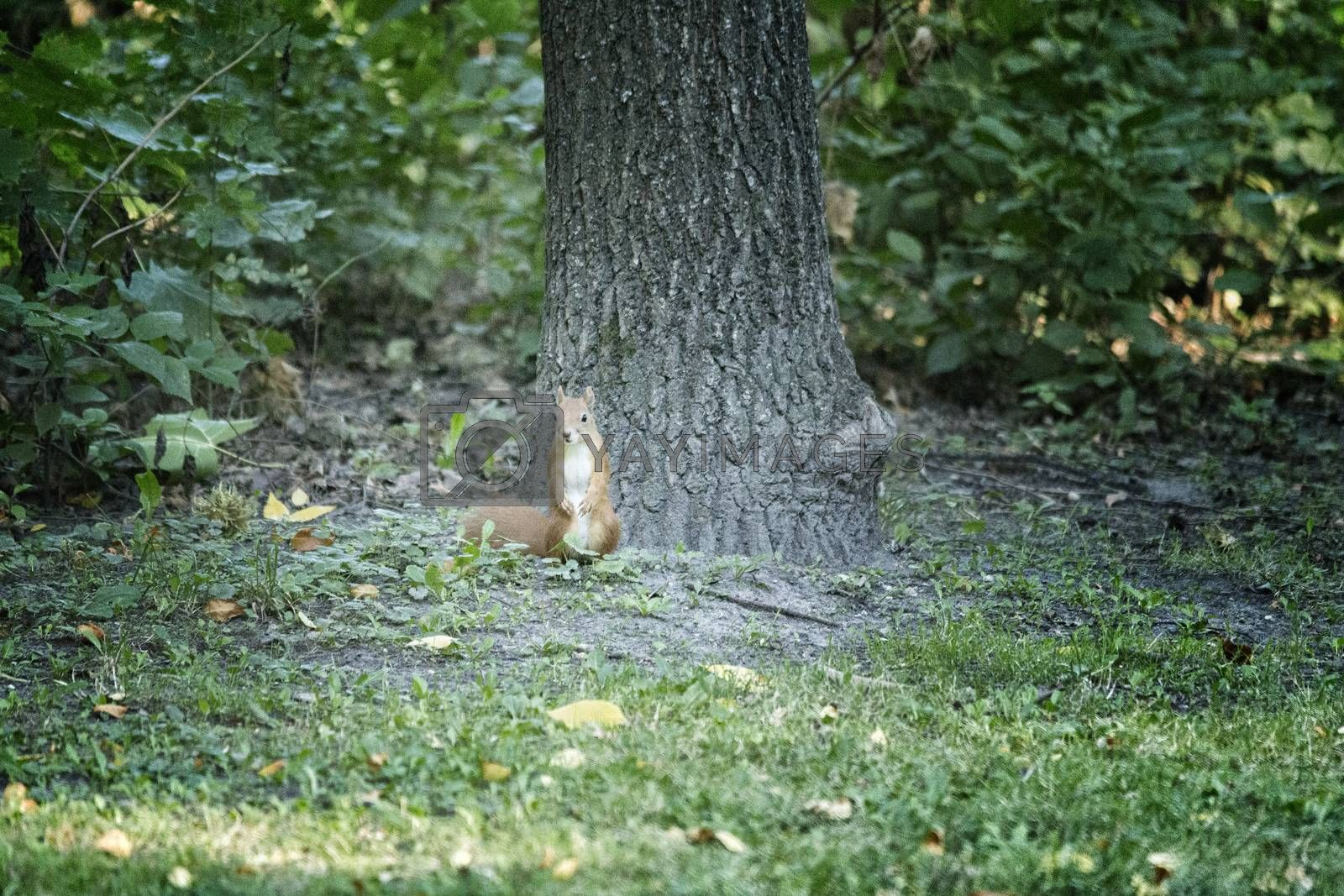 Red brownish squirren on grass near tree