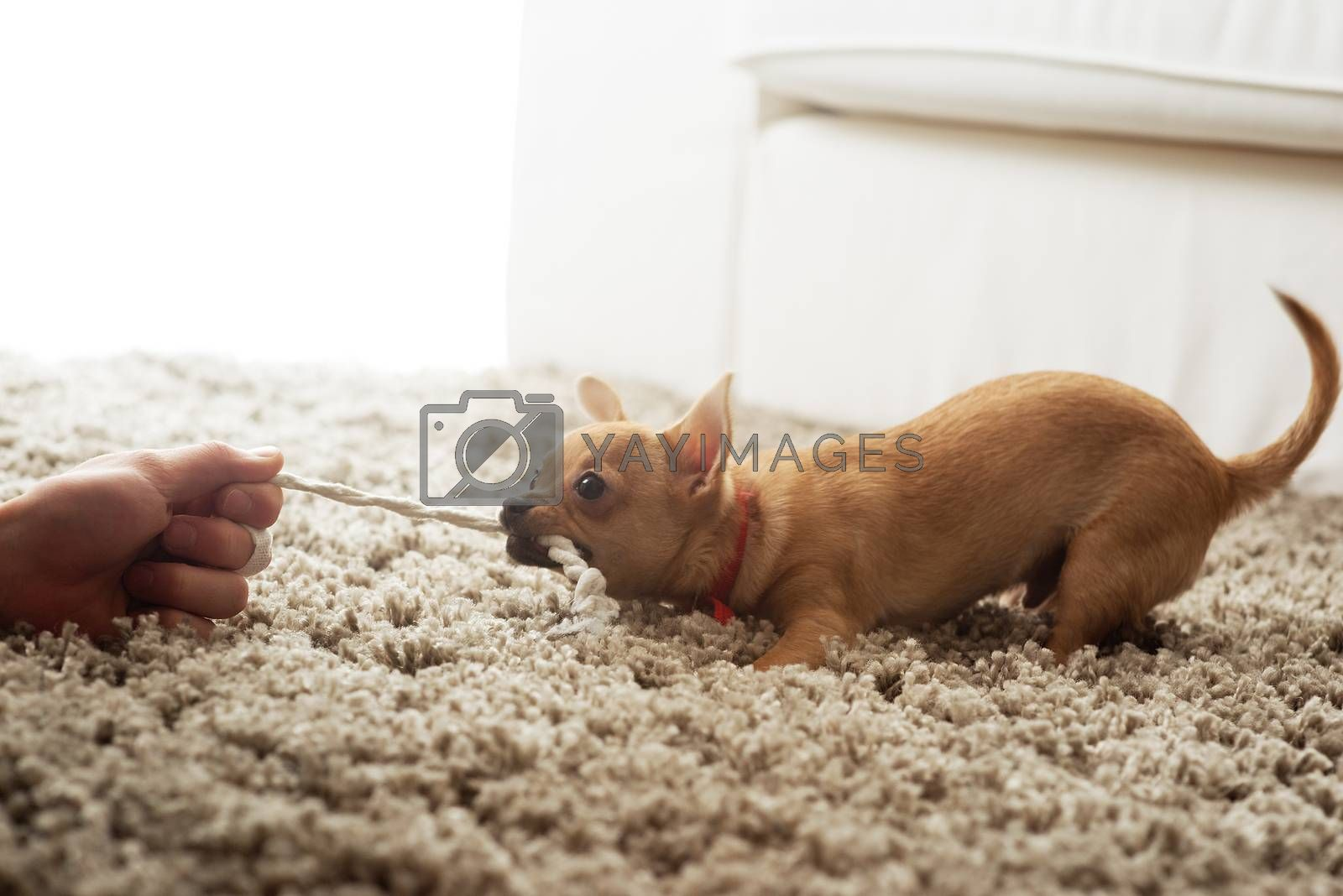 Cute chihuahua dog playing on living room's carpet with a rope.