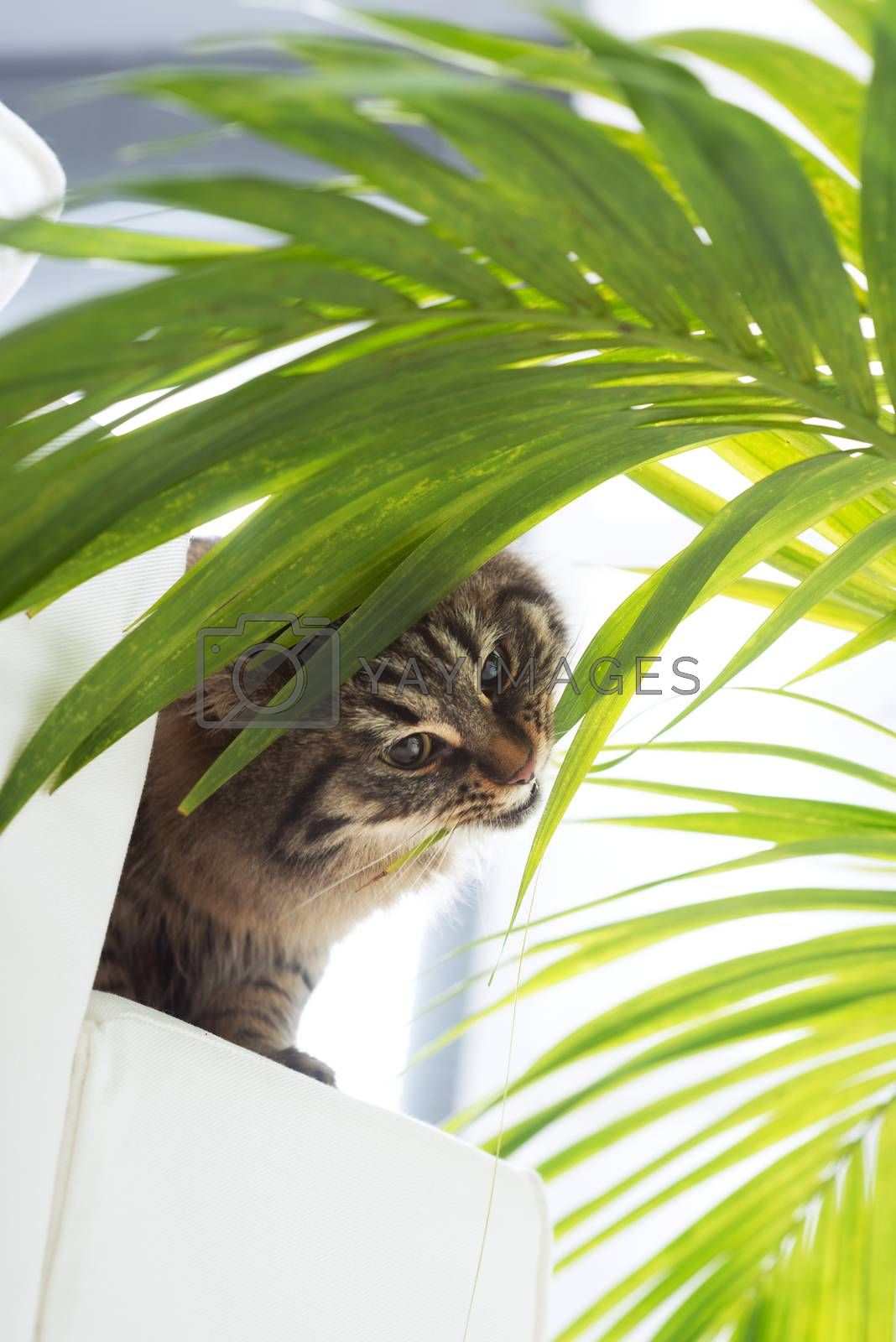 Beautiful cat eating houseplant green leaves in the living room.