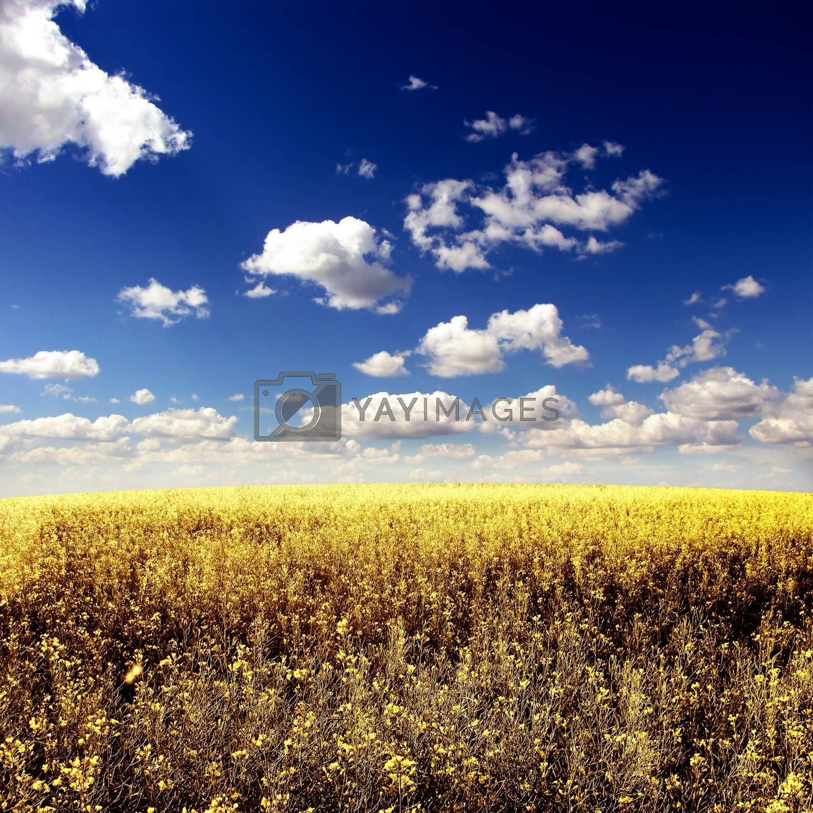 Beautiful Summer Landscape with Yellow Field