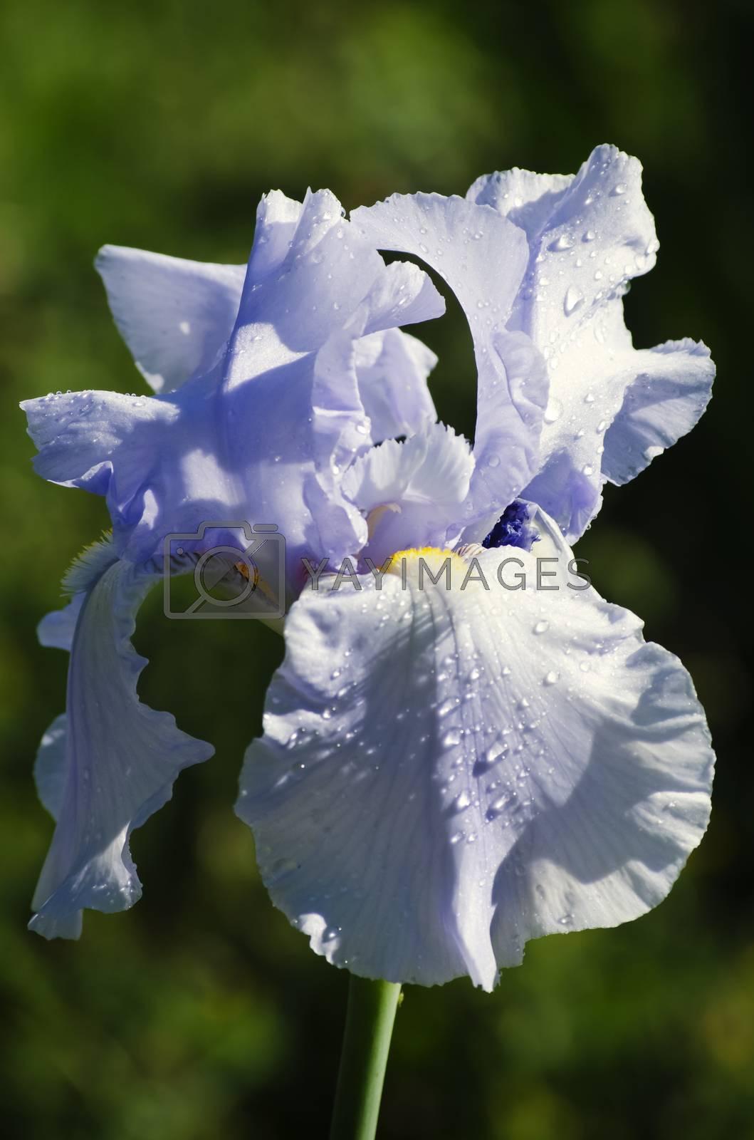 Photo of Iris Flower in Springtime