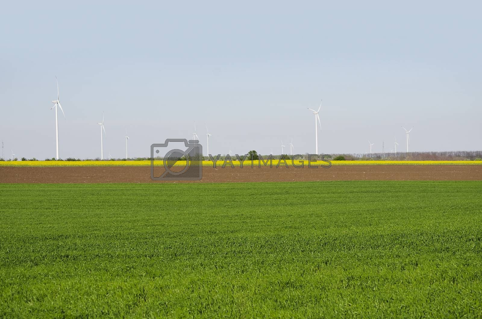 Spring Green and Yellow Field Landscape With Windmills