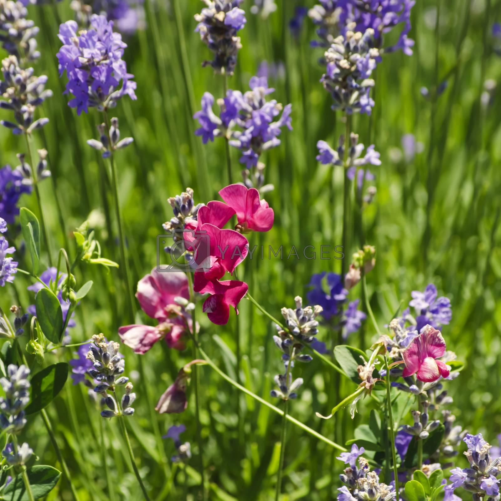 Pink Vetch Flower Over Green Grass Background