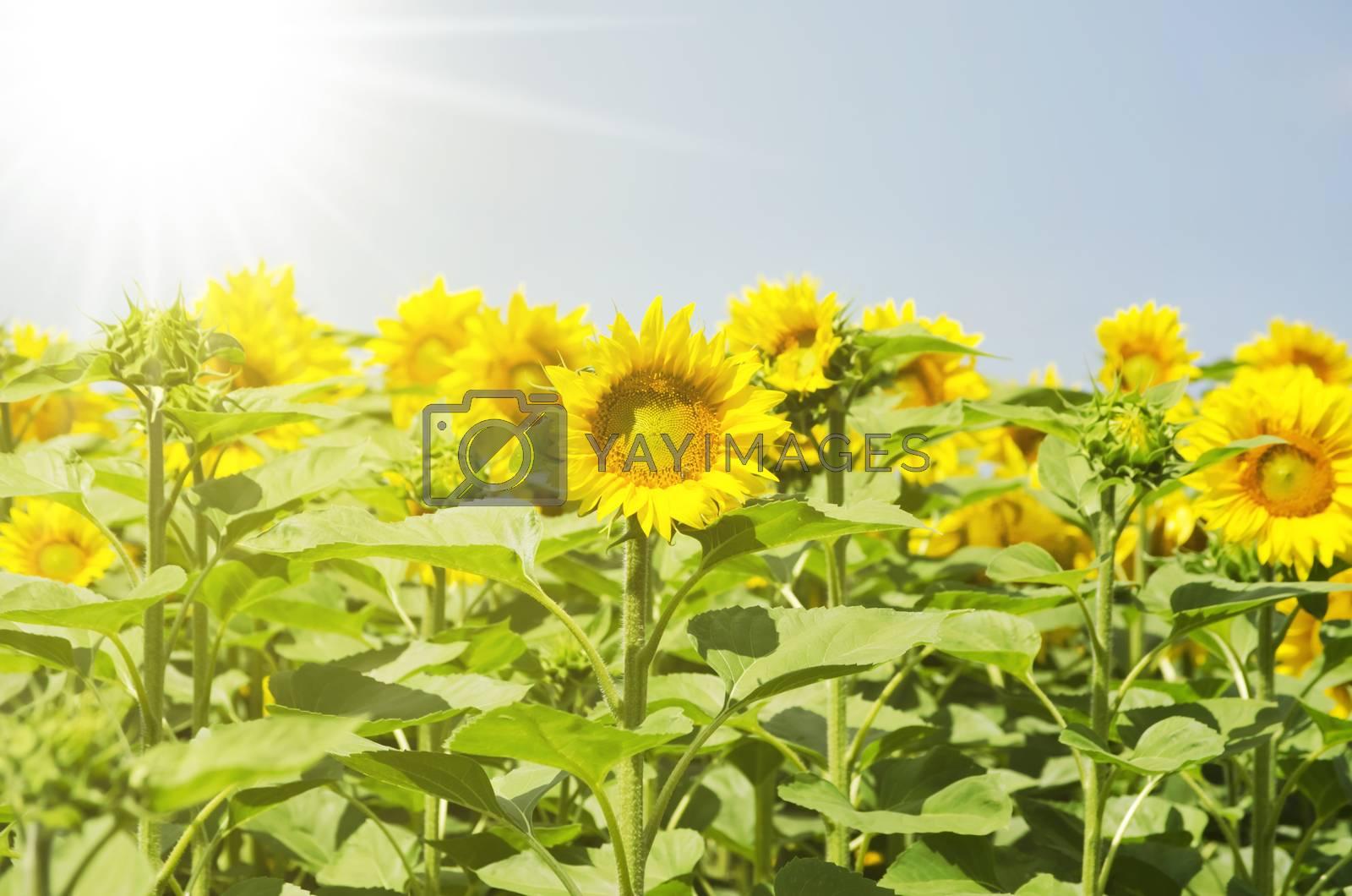 Summer Sunflower Yellow Rural Landscape