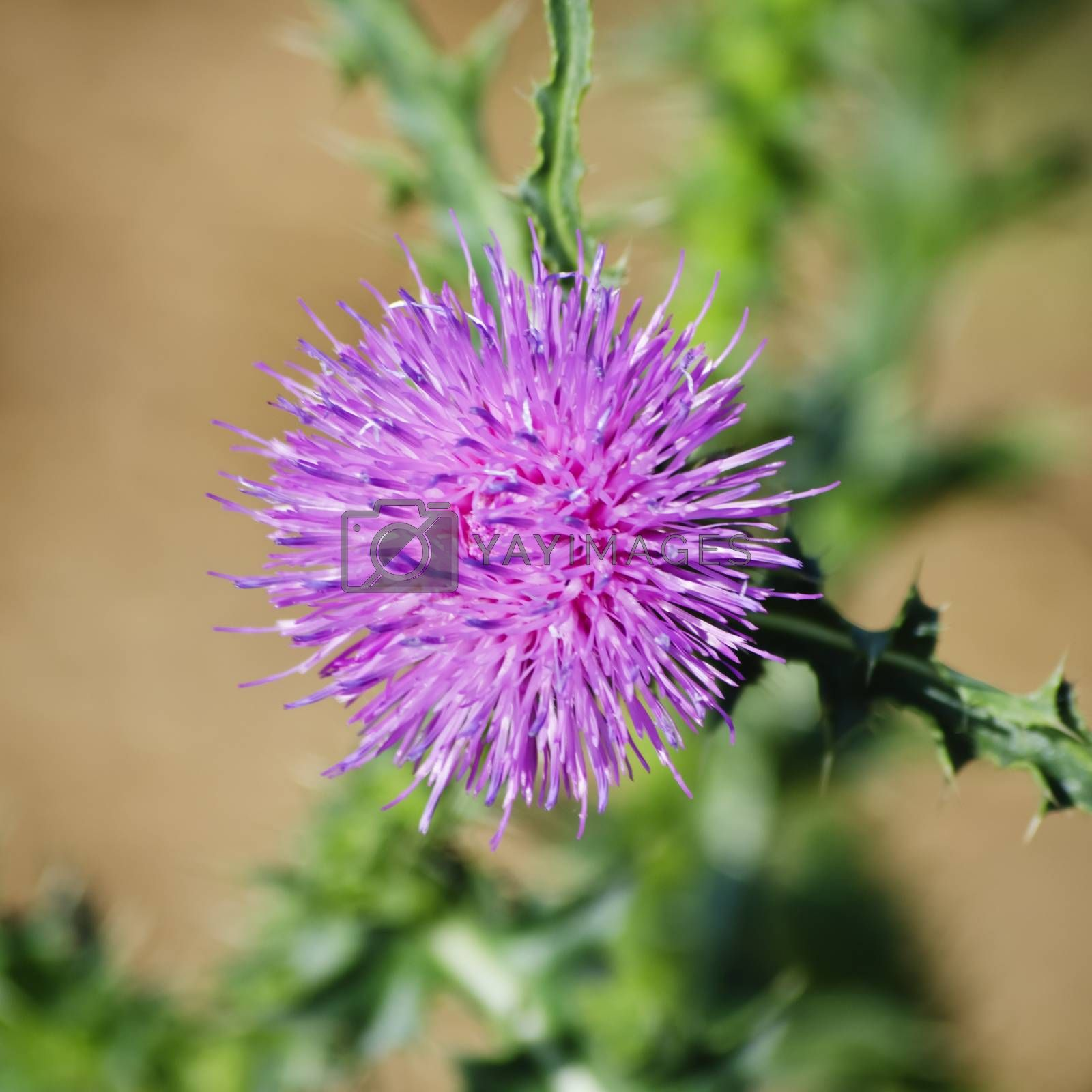 Photo of the Thistle Flower Over Natural Background