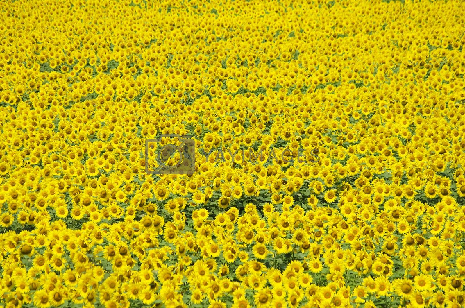 Summer Yellow Natural Sunflower Background