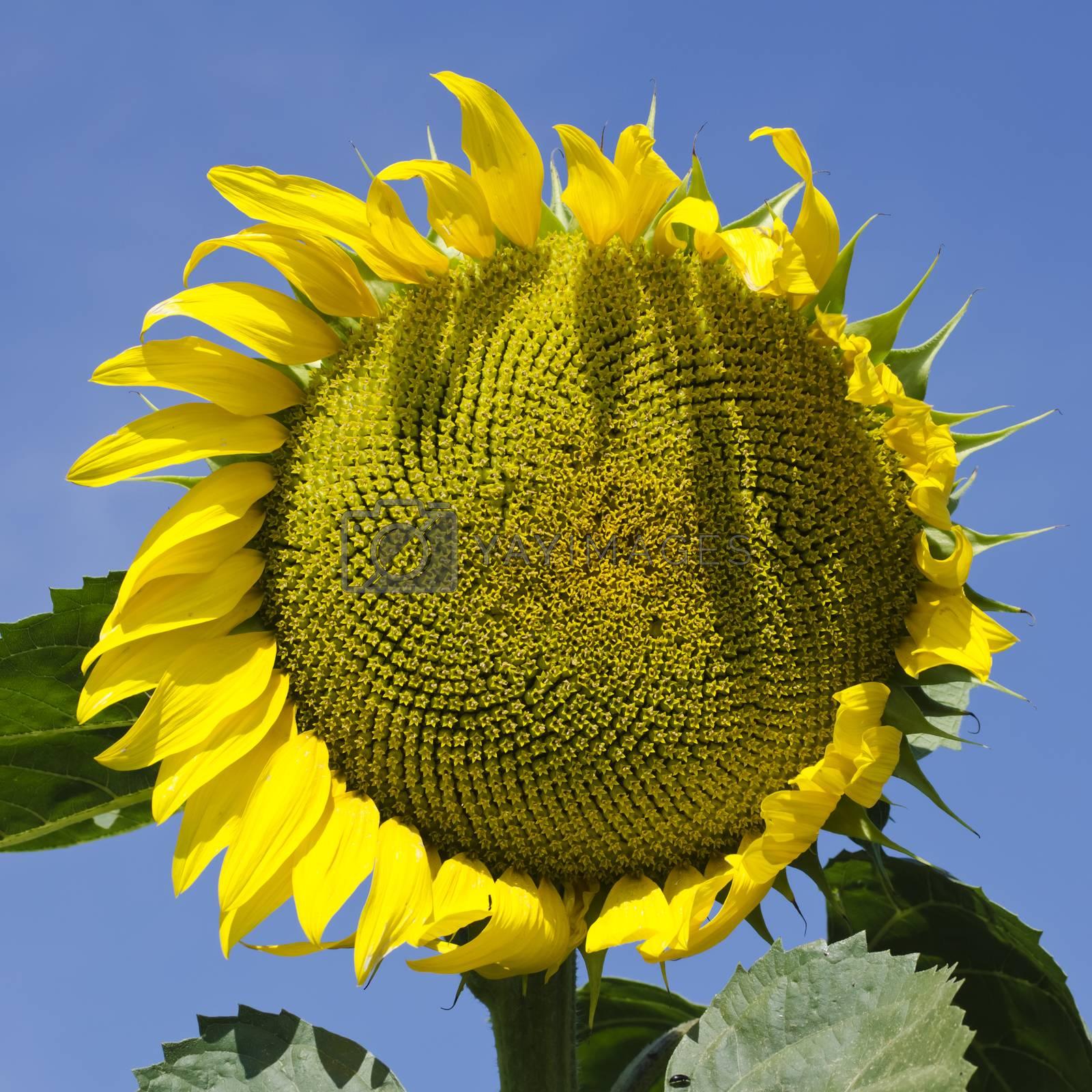 Yellow Sunflower in Summertime Over Sky Background