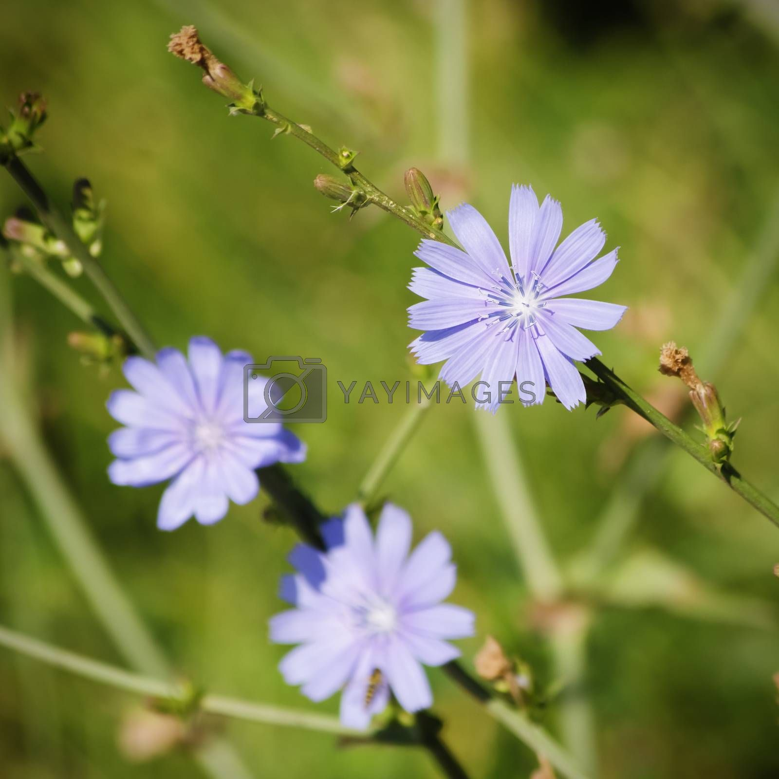 Chicory Blue Flower Over Natural Green Background