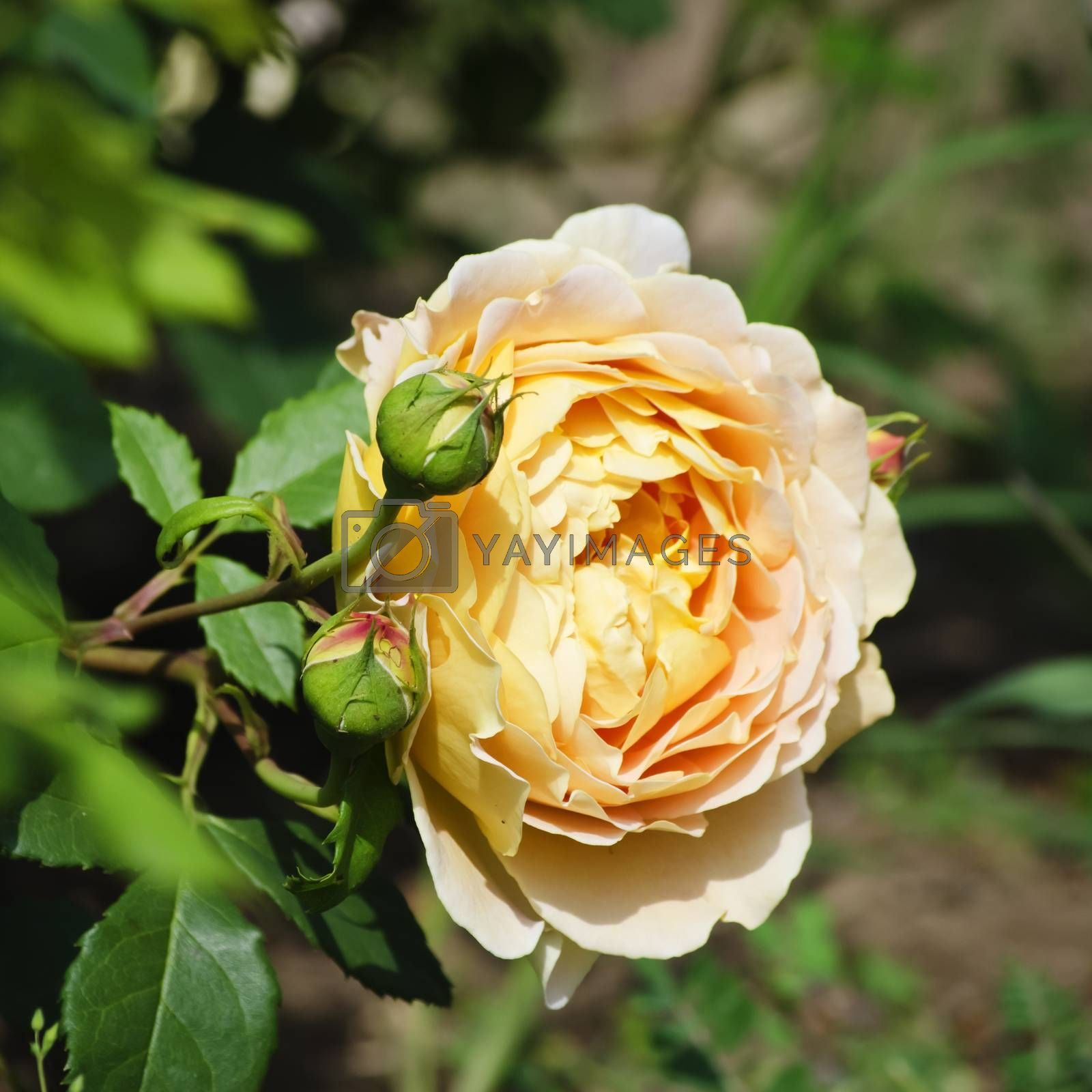 Photo of the Rose Flower in Spring Time