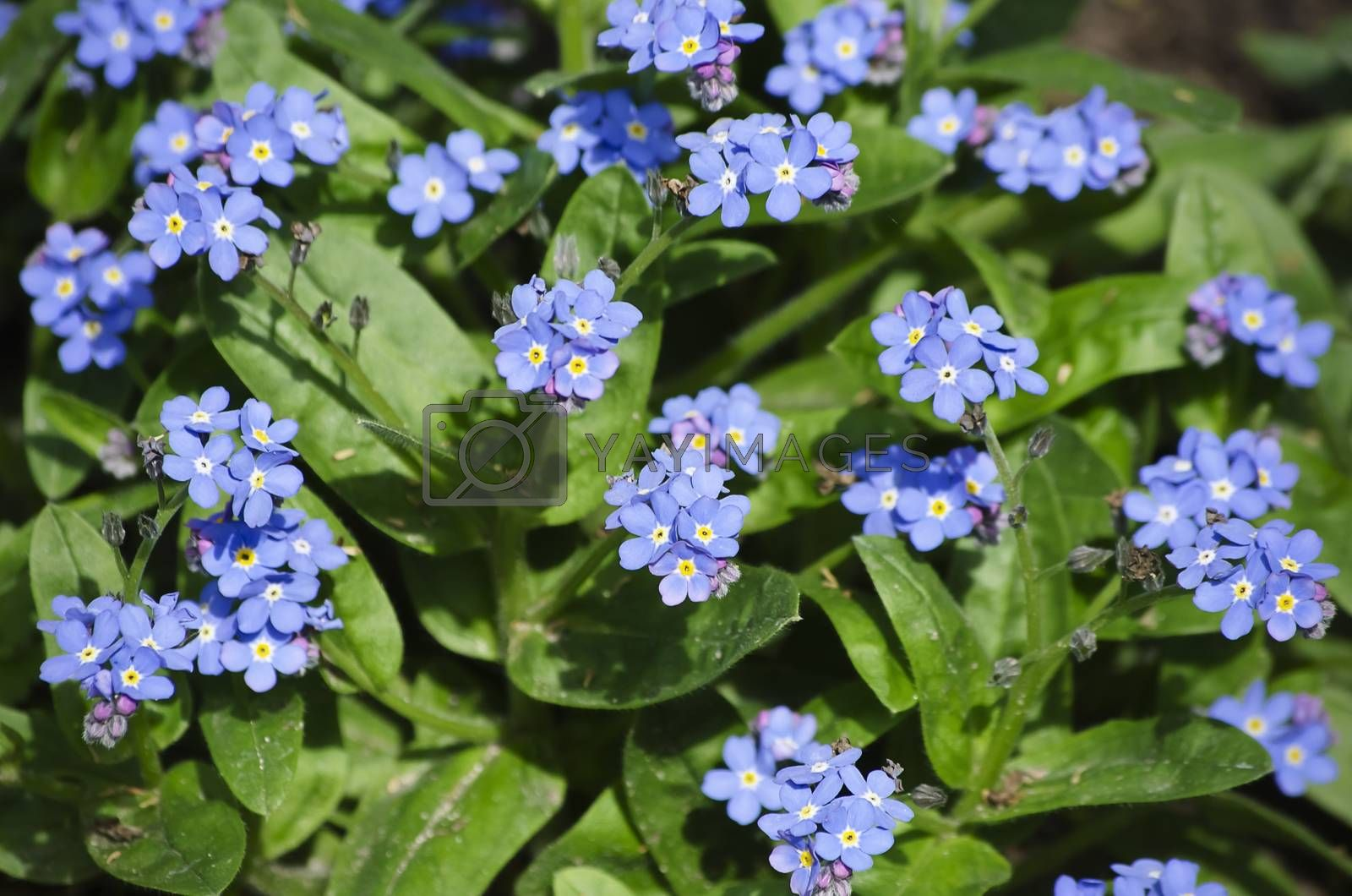 Photo of the Spring Blue Flowers Forget-me-not