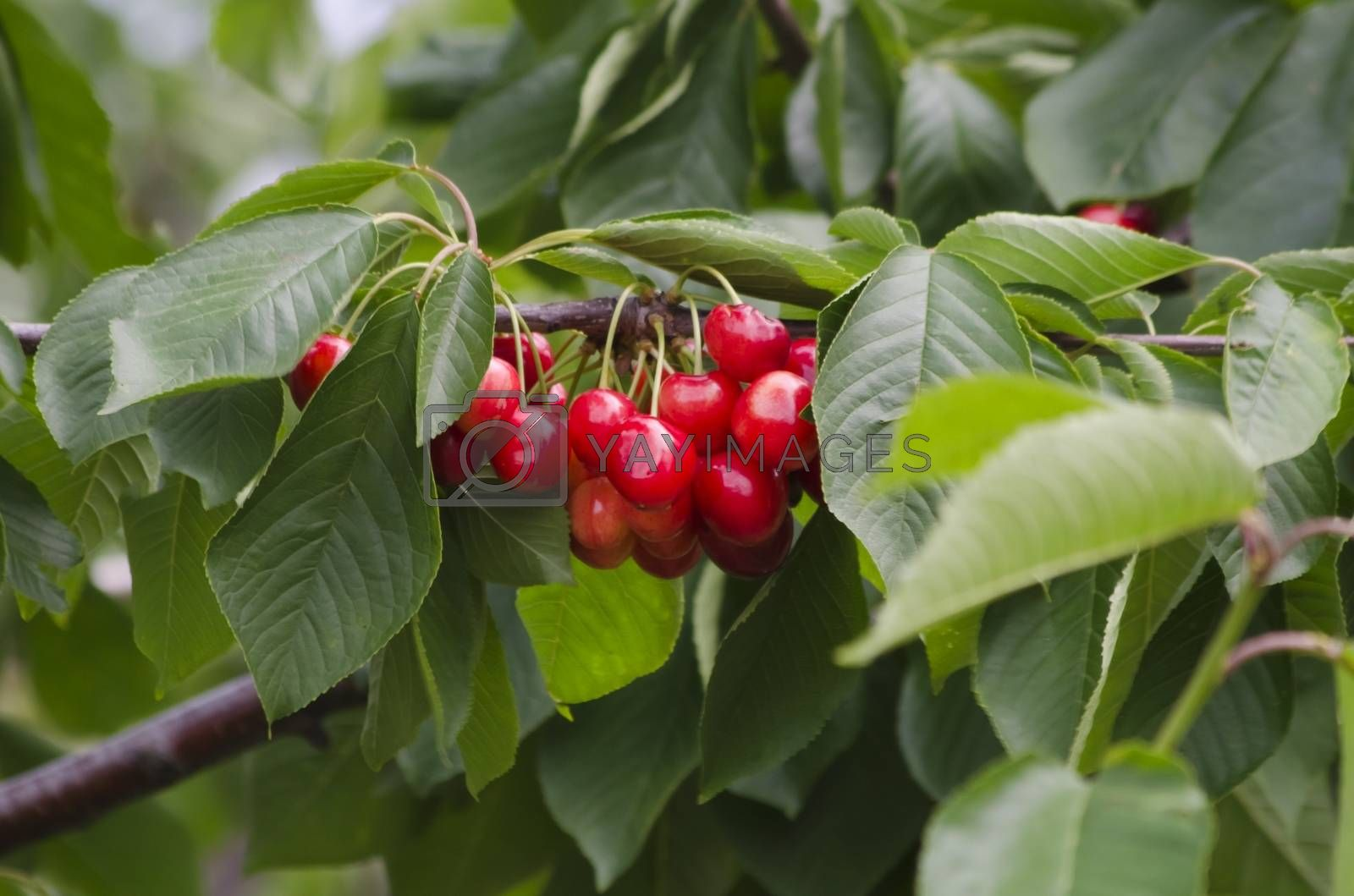 Photo of the Red Cherry Over Green Leaves