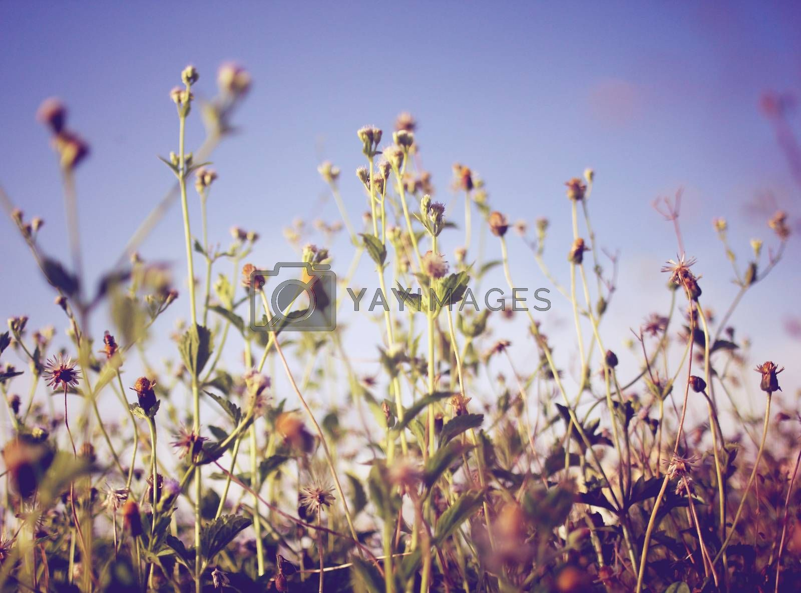 Dry meadow flowers and blue sky with retro filter effect