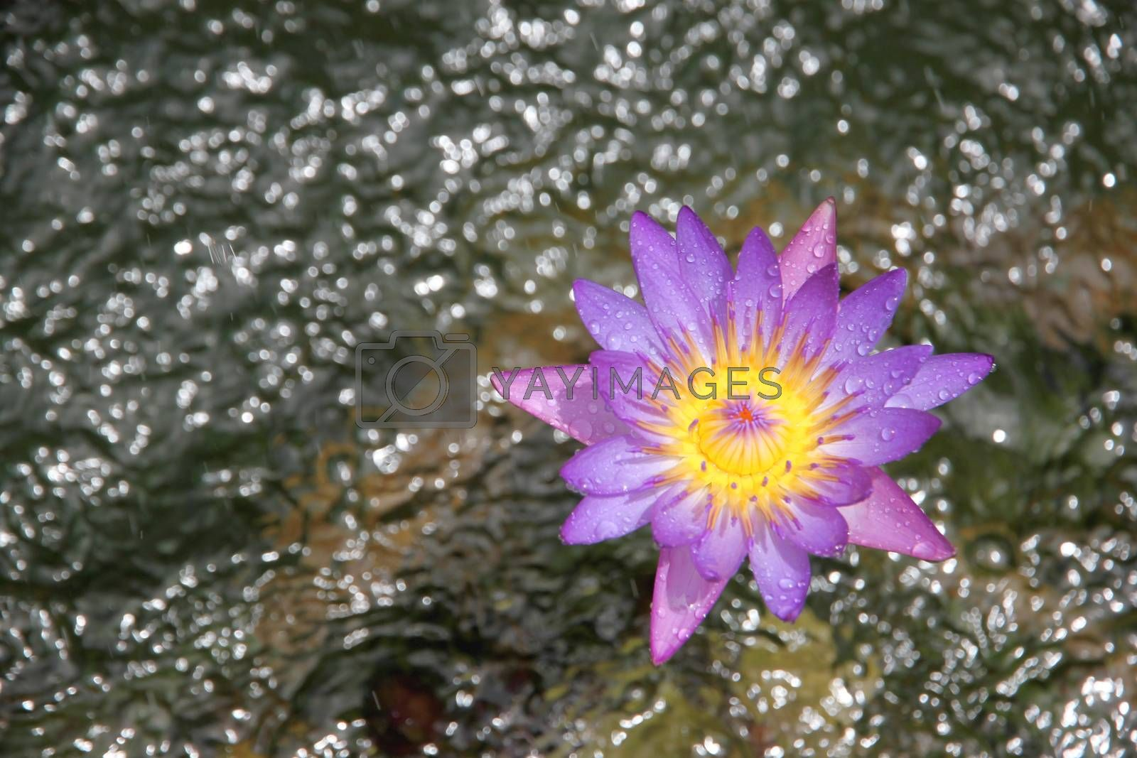 Purple lotus in a morning.