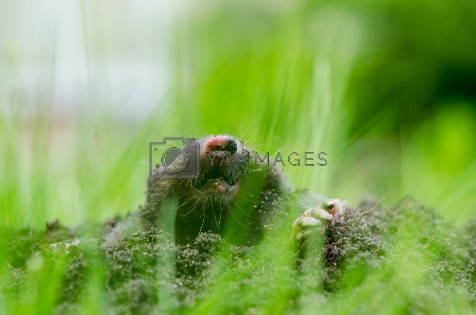 Mole head in molehill hole soil. Enemy for beautiful lawn. Blur view through grass.