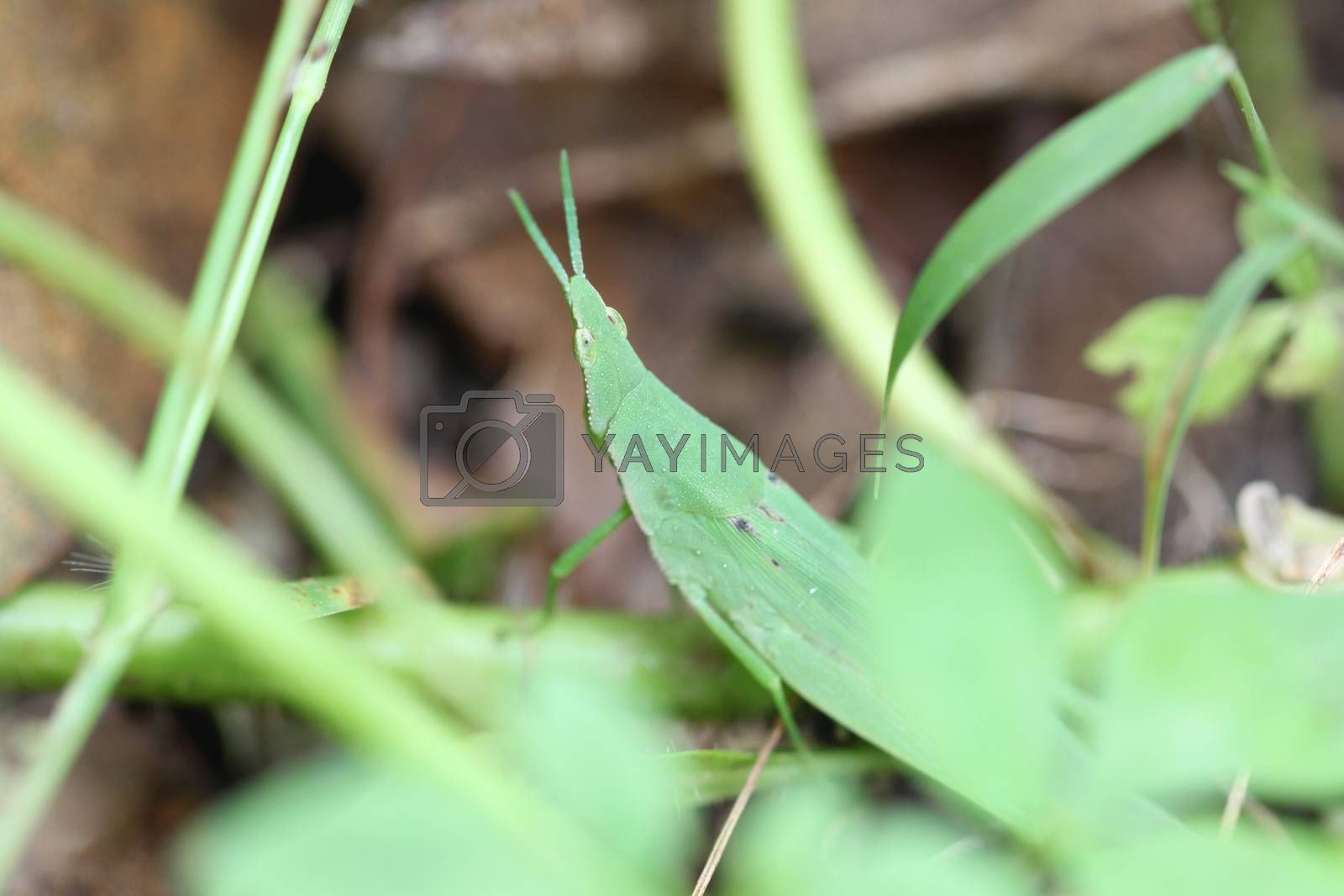 Green grasshopper perched on leaf in the garden.