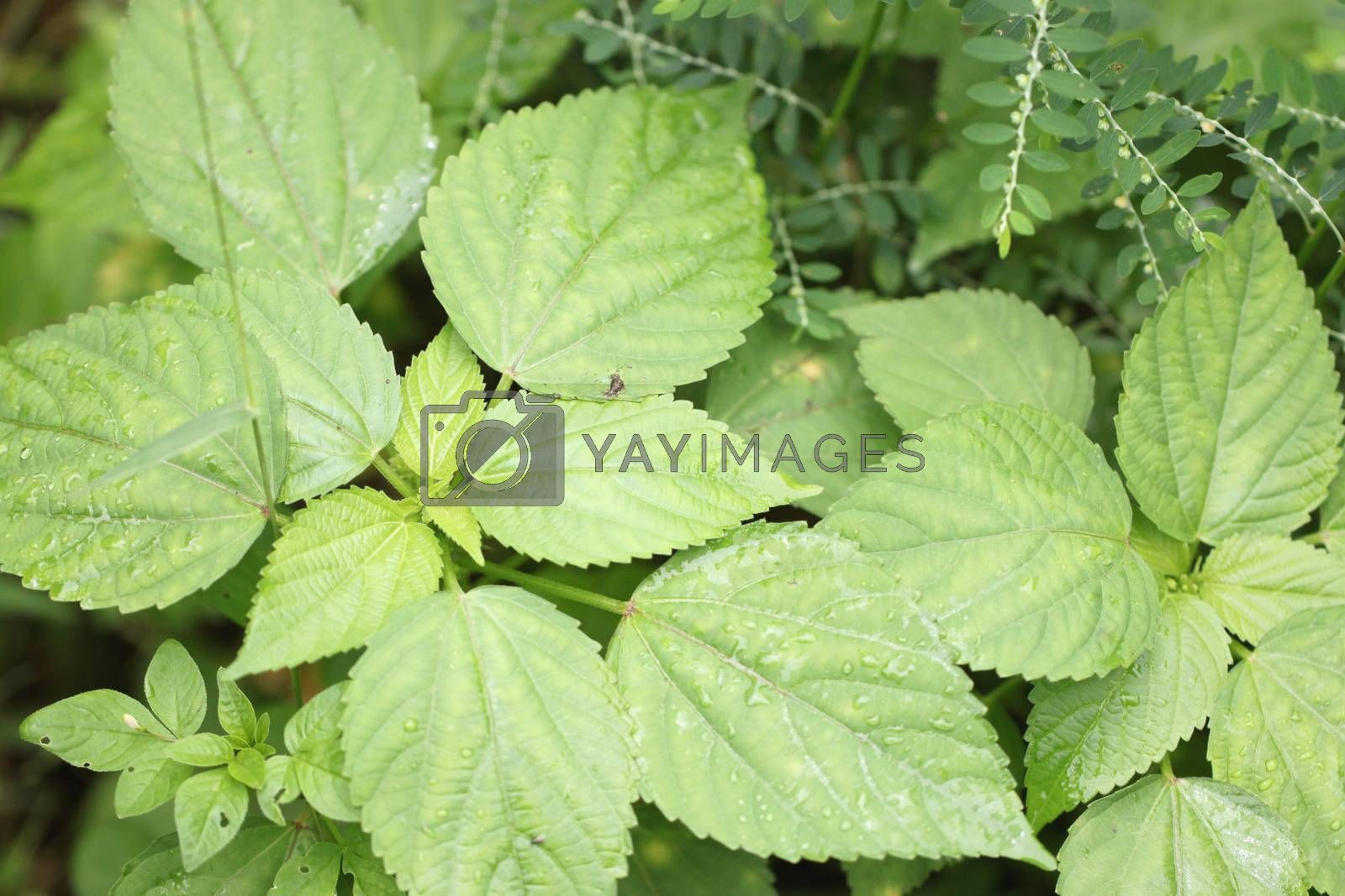 Green leaf in the garden for natural background.