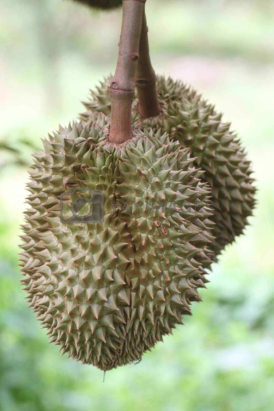 Fresh durian on the trees in orchards.