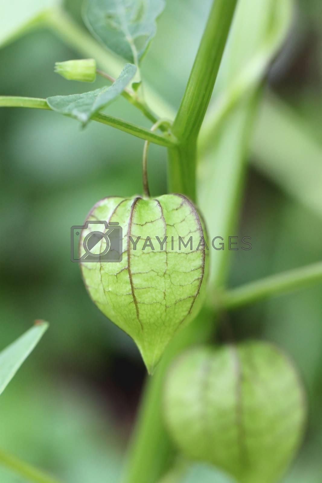 Wild green fruits. by PiyaPhoto
