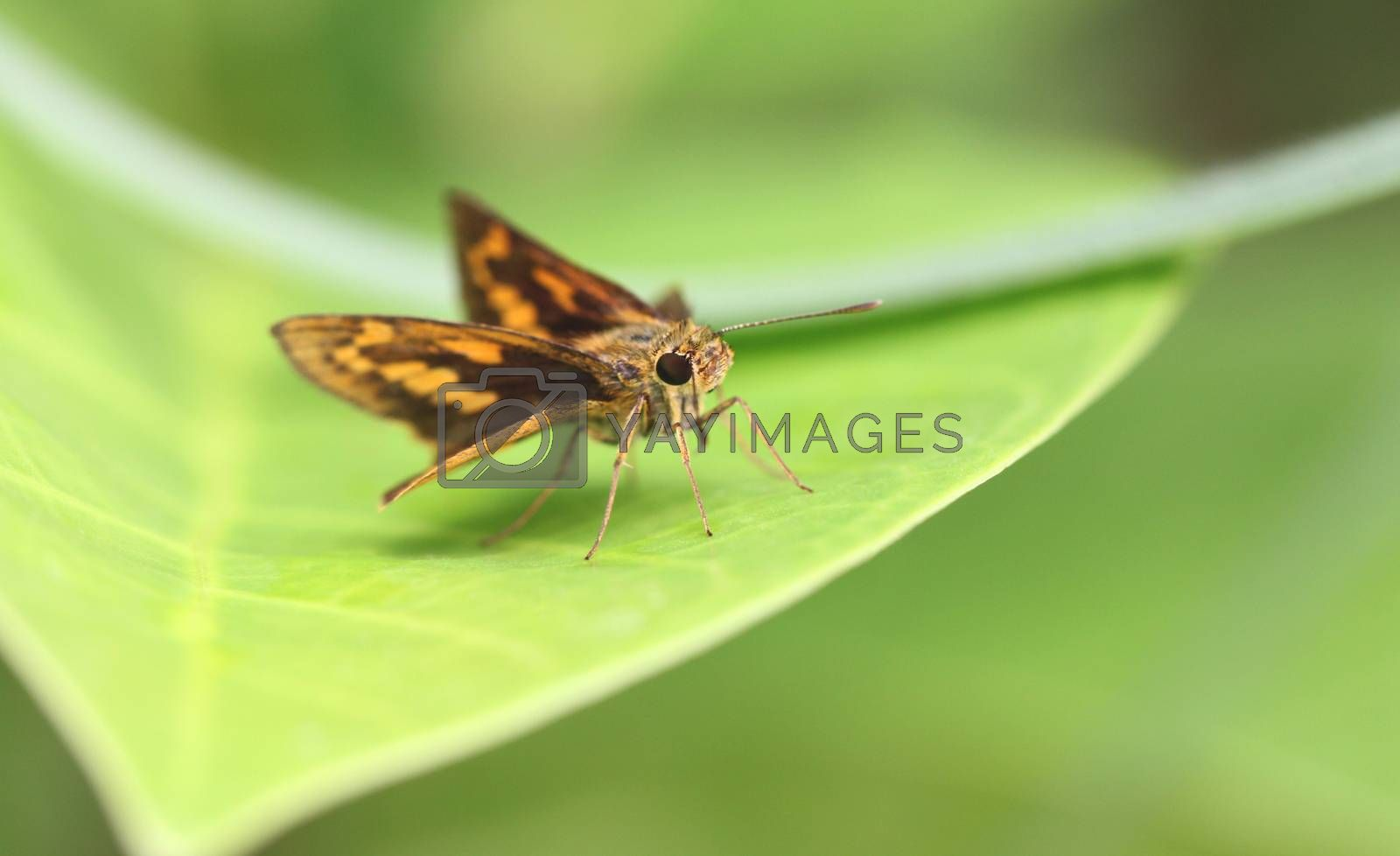 Brown insect on green leaf in the forest.