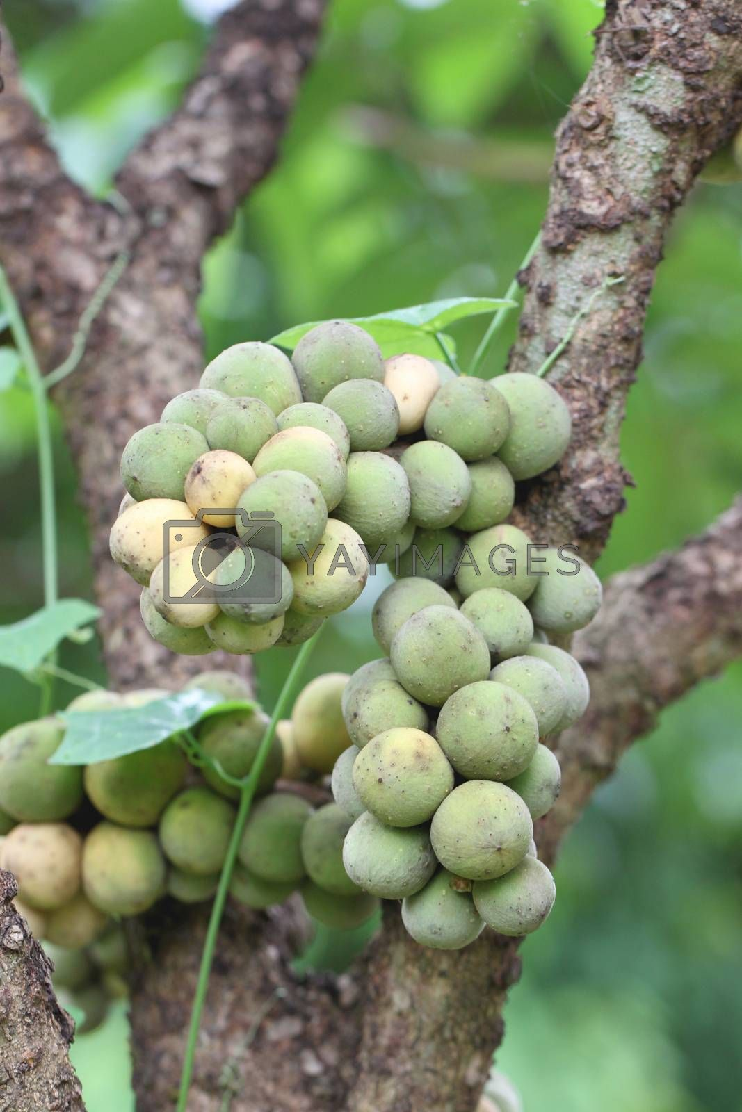 fresh wollongong fruits on tree in the orchard.