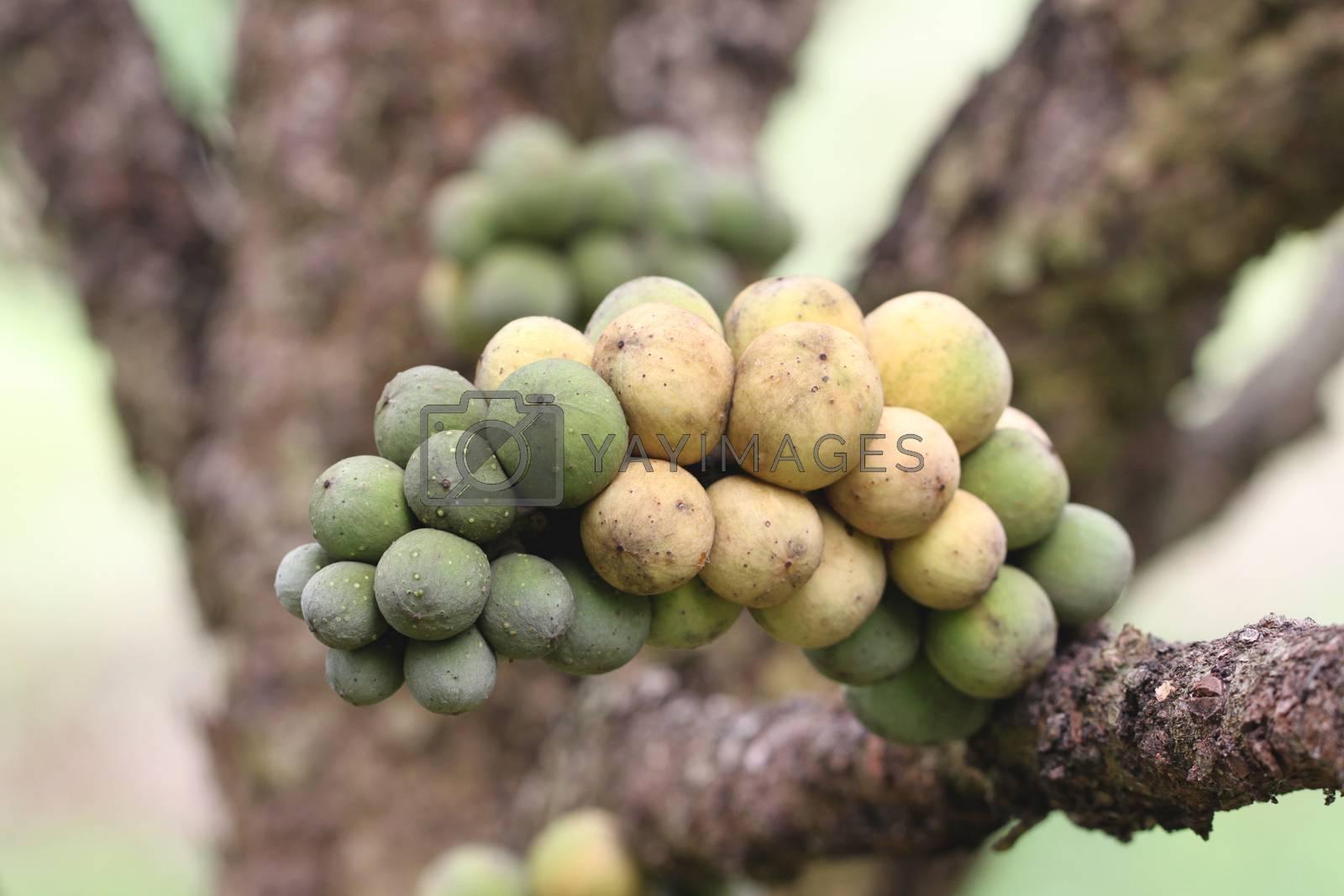 fresh wollongong fruits on tree. by PiyaPhoto