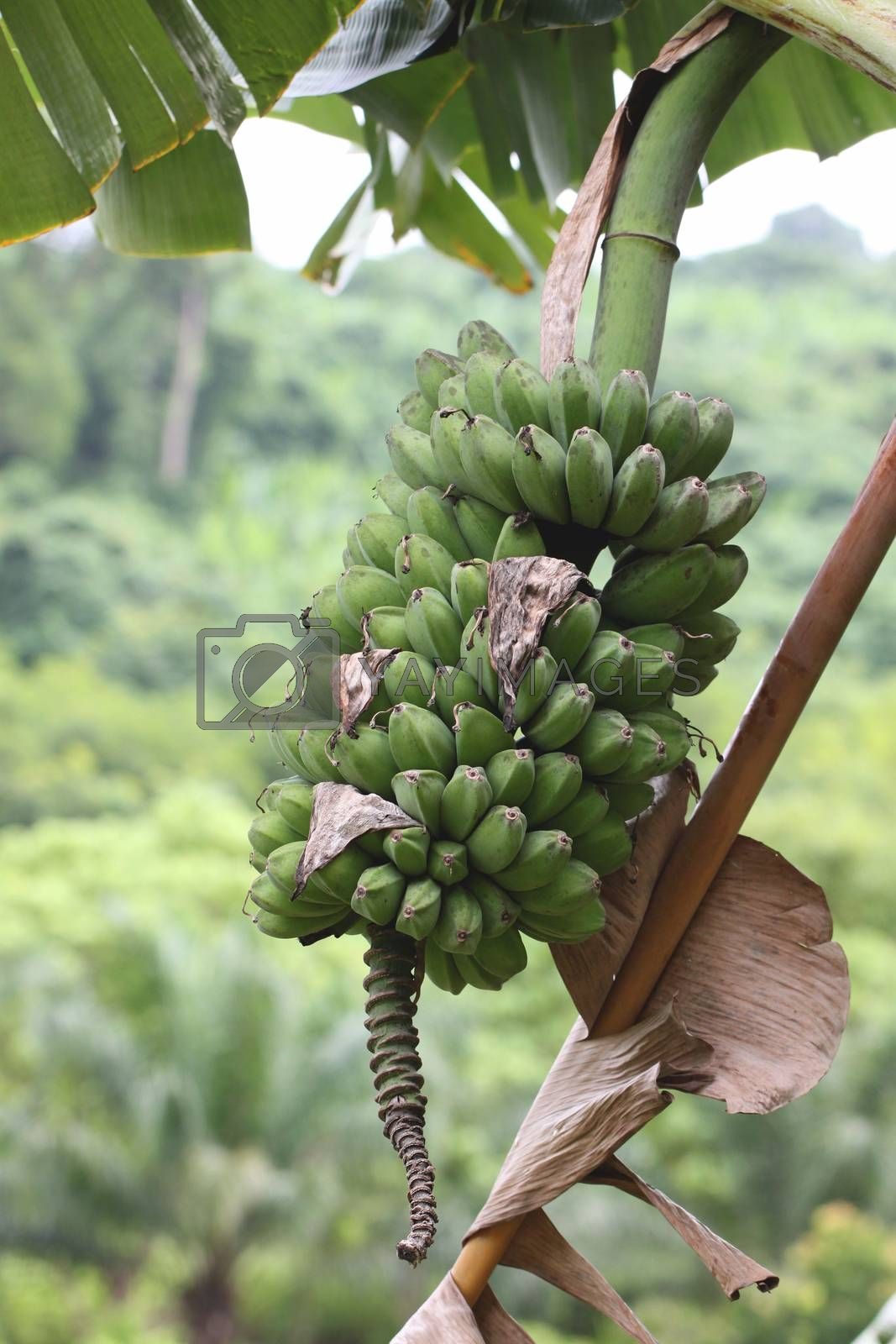fresh wild bananas fruit on the tree.