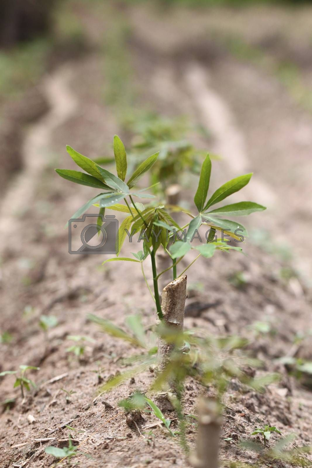 Seedlings of the sweet potato in agriculture.