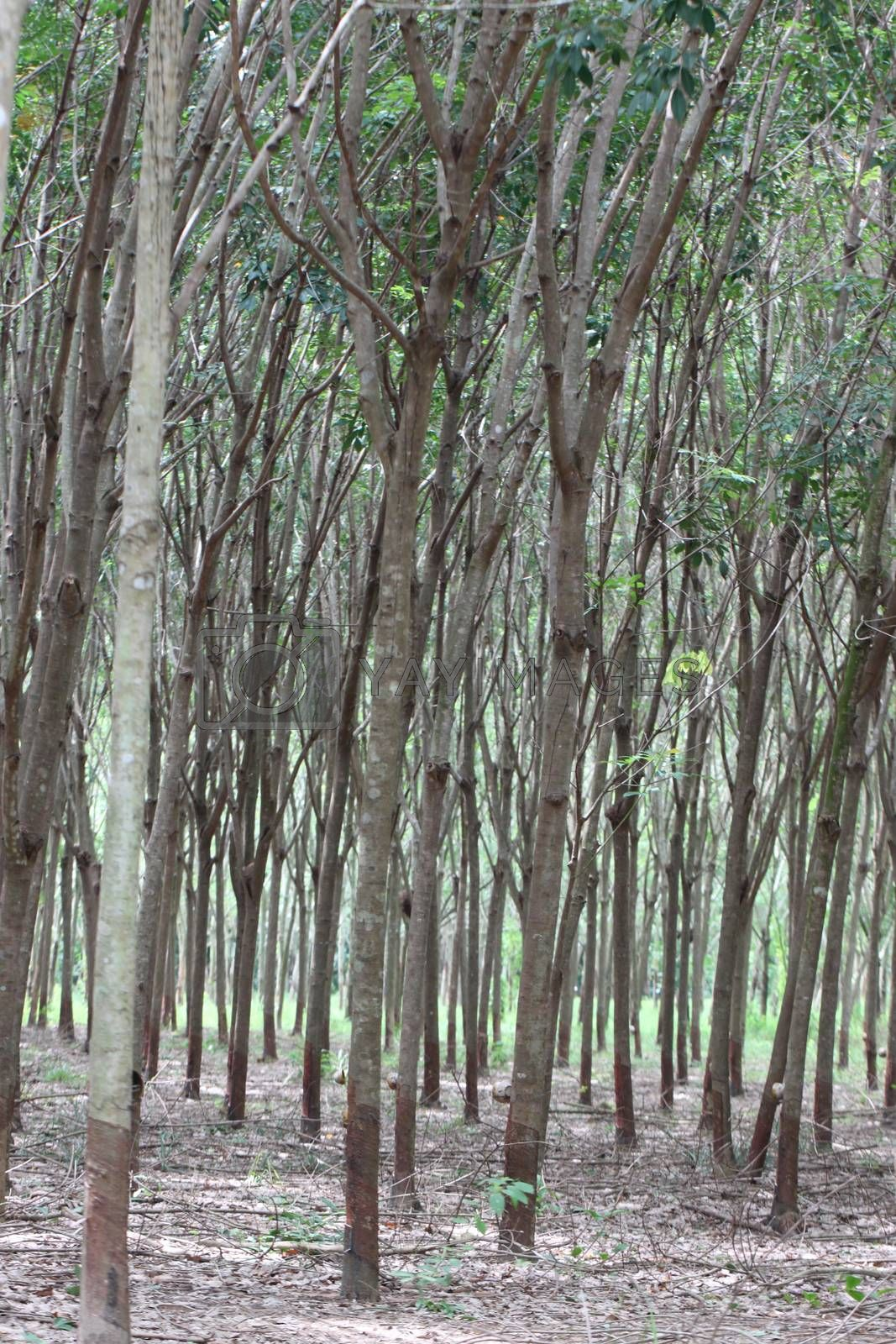 Rubber trees in the garden.