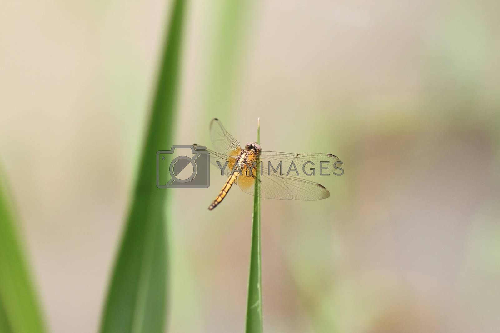 Orange dragonfly on top grass in the garden.