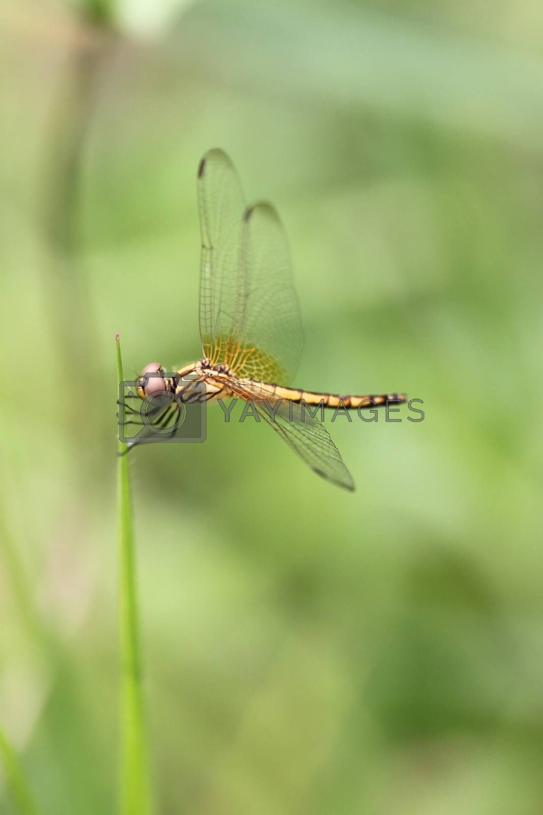 Orange dragonfly on top grass. by PiyaPhoto