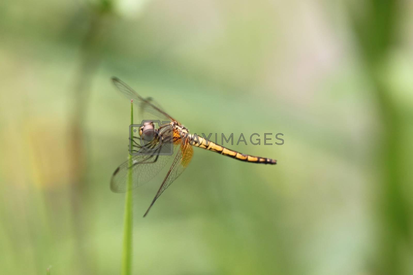 Orange dragonfly on top grass. by PiyaPhoto